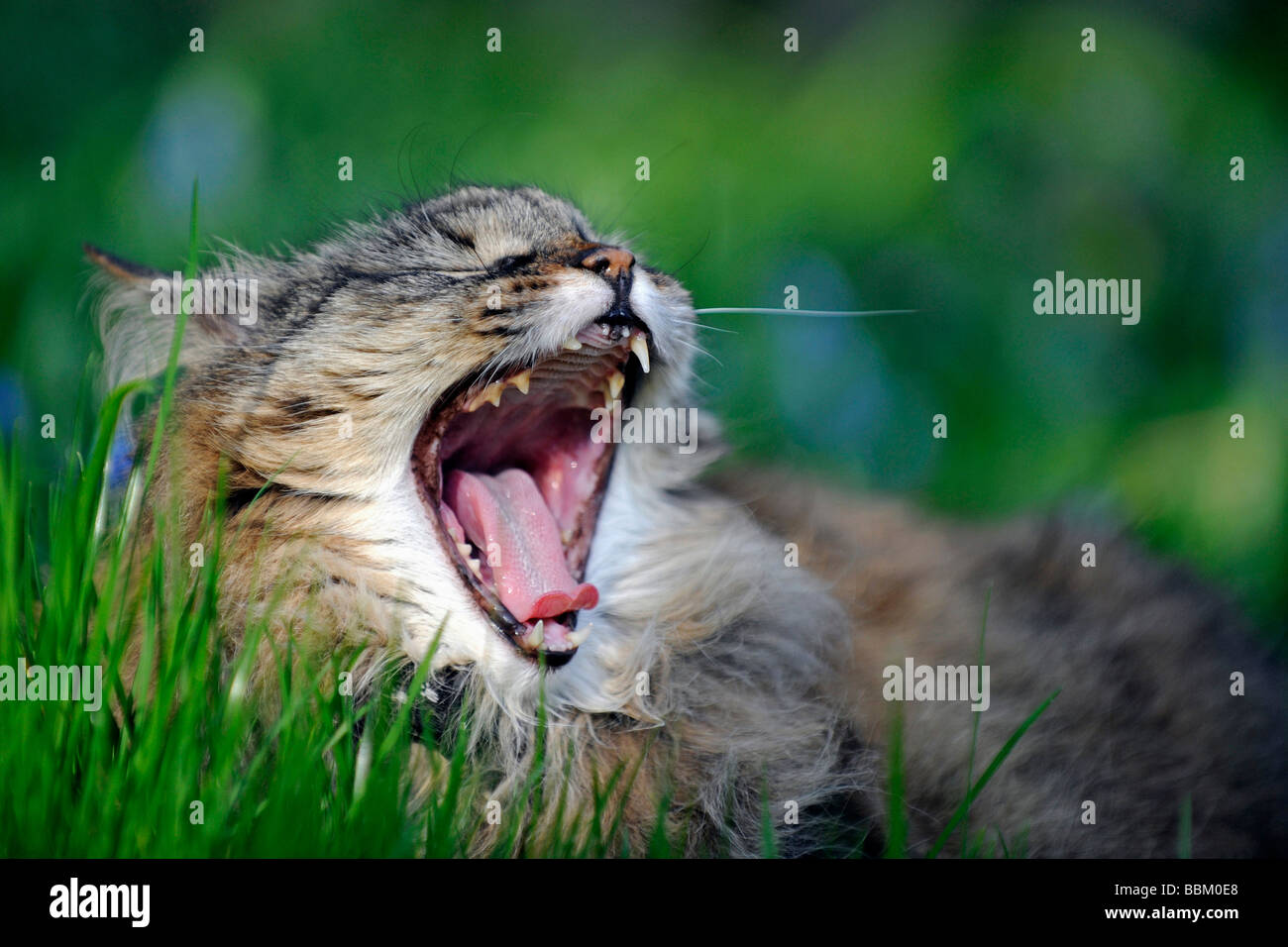 Yawning house cat lying in a meadow - Stock Image