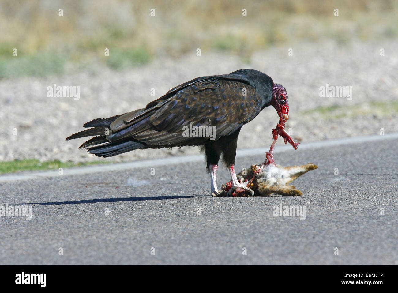 what do turkey vultures eat