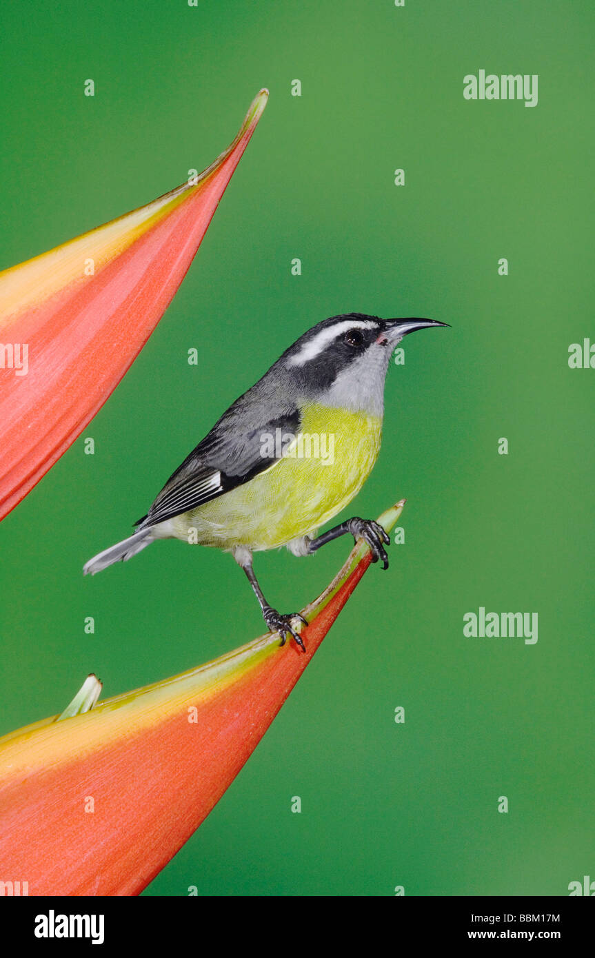 Bananaquit Coereba flaveola adult on Heliconia Flower Central Valley Costa Rica Central America December 2006 - Stock Image