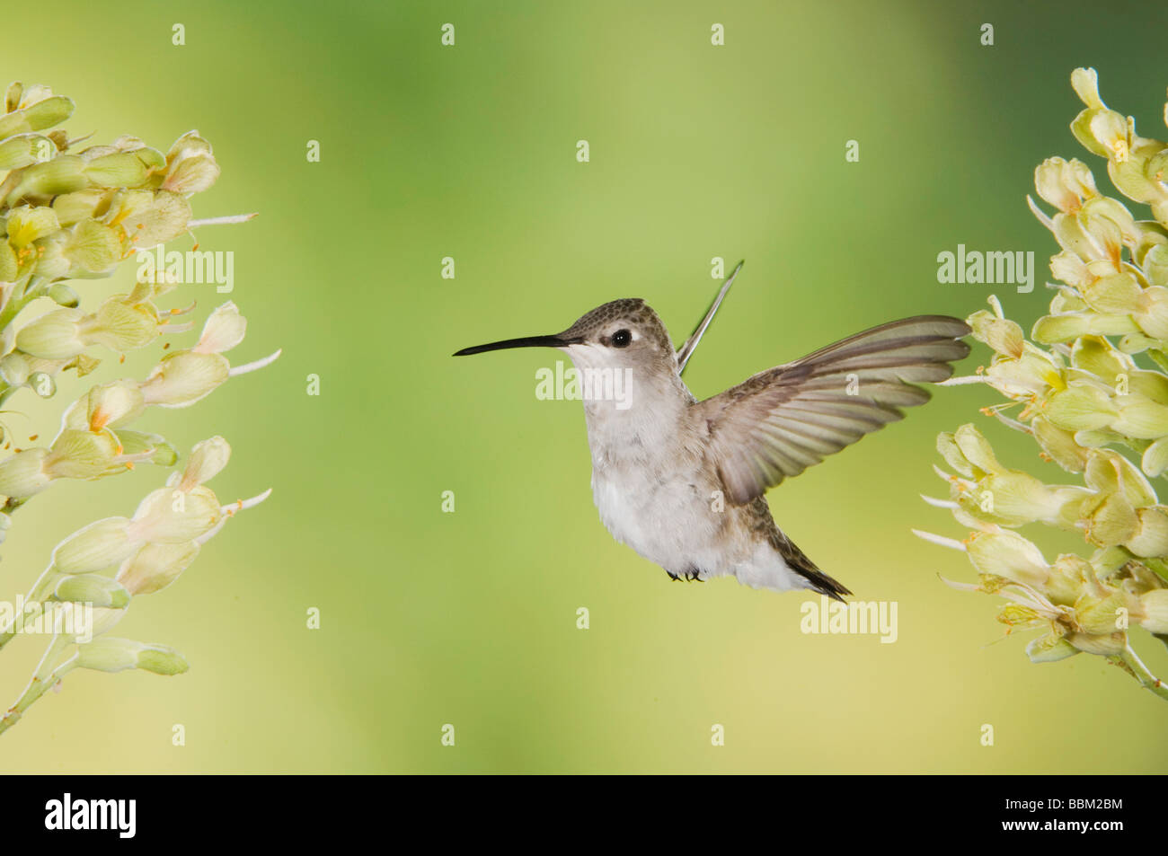 Black chinned Hummingbird Archilochus alexandri female in flight feeding on Texas Buckeye Aesculus glabra Hill Country - Stock Image