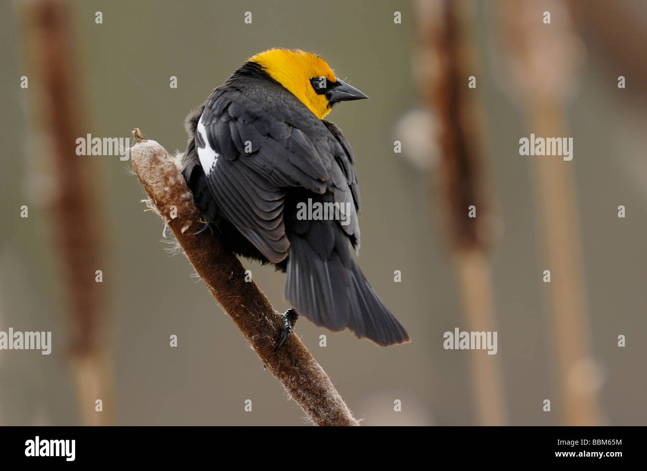 Yellow-headed Blackbird Stock Photo