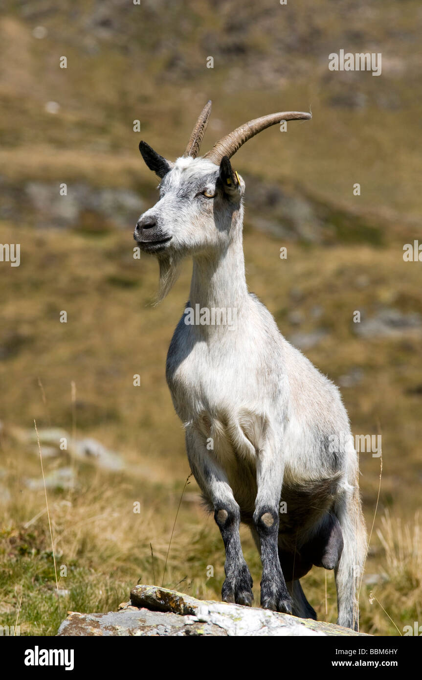 Passeirer mountain goat, Ober-Glanegg alpine pasture, Timmelsjoch ridge, Hinterpasseier, Bolzano-Bozen, Italy, Europe Stock Photo