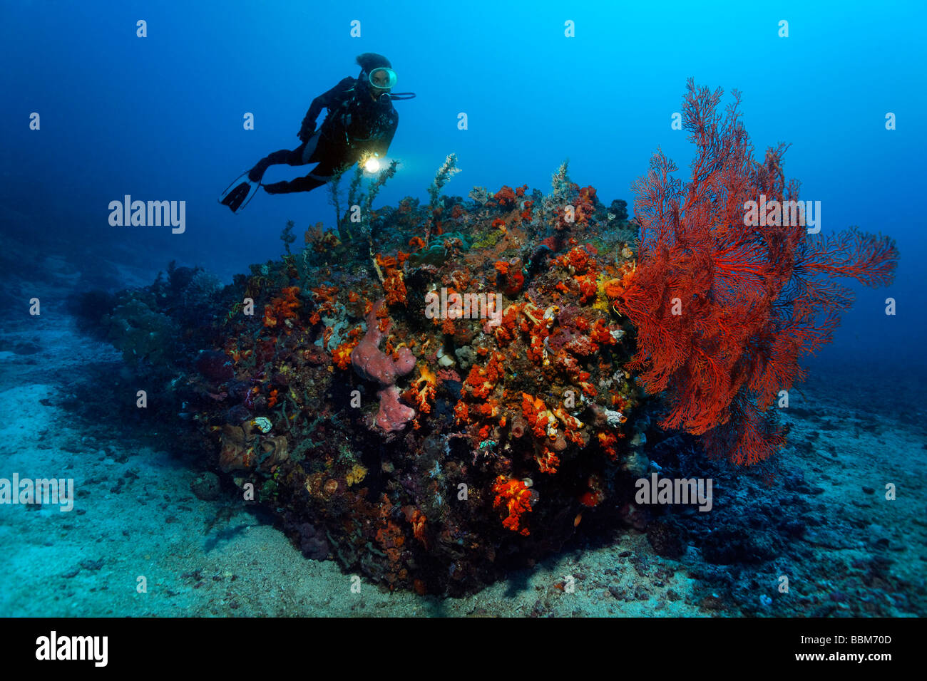 Diver watching Sea Fans (Gorgonaria) on coral reef, colorfully overcrusted with corals, Gangga Island, Bangka Islands, - Stock Image