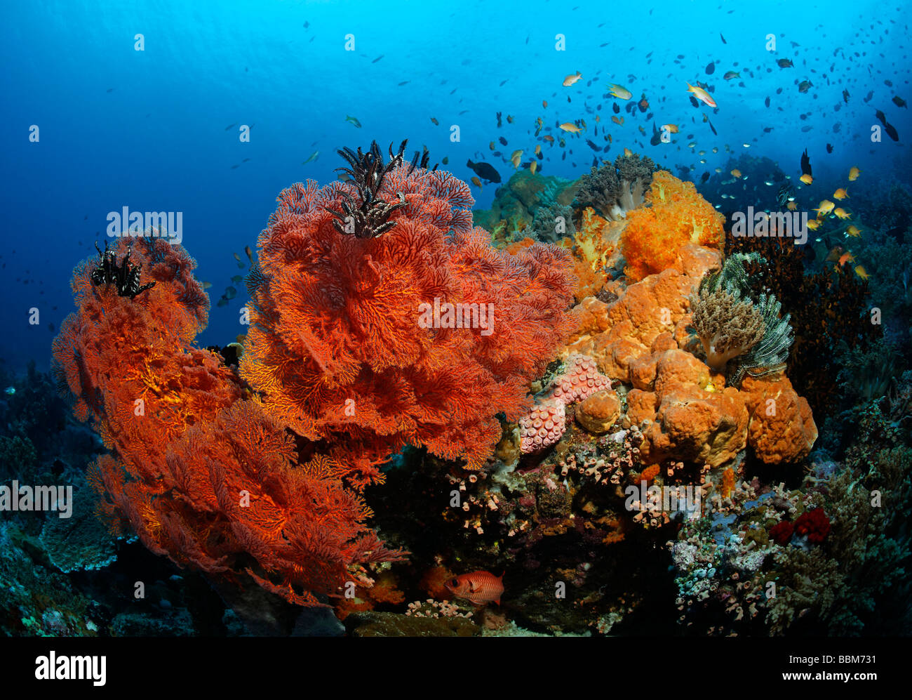 Coral block at coral reef with variety of red sea fans (Melithaea ochracea) and fish, Gangga Island, Bangka Islands, - Stock Image