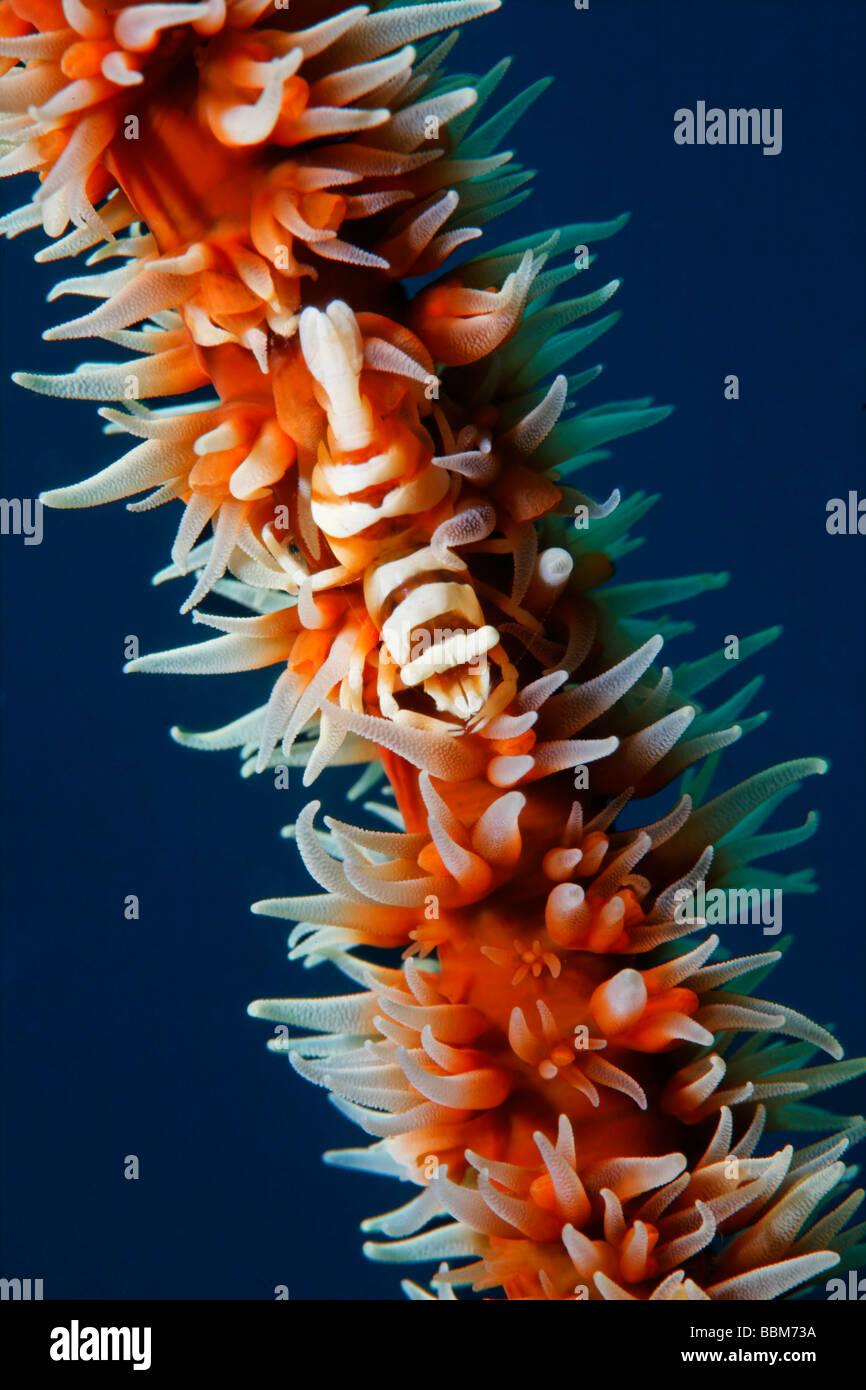 Coral shrimp (Dasycaris zanzibarica), on Coiled wire coral (Cirripathes anguinea) with polyps, Gangga Island, Bangka - Stock Image