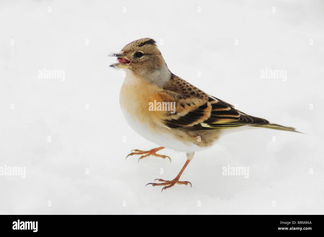 Brambling Fringilla montifringilla female eating seeds on snow Zug Switzerland December 2007 - Stock Image
