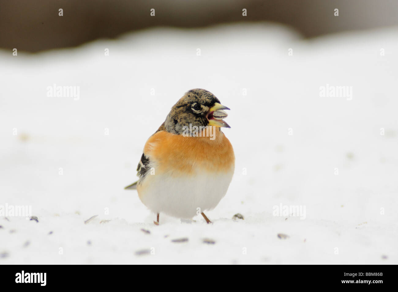 Brambling Fringilla montifringilla male eating seeds on snow Zug Switzerland December 2007 - Stock Image