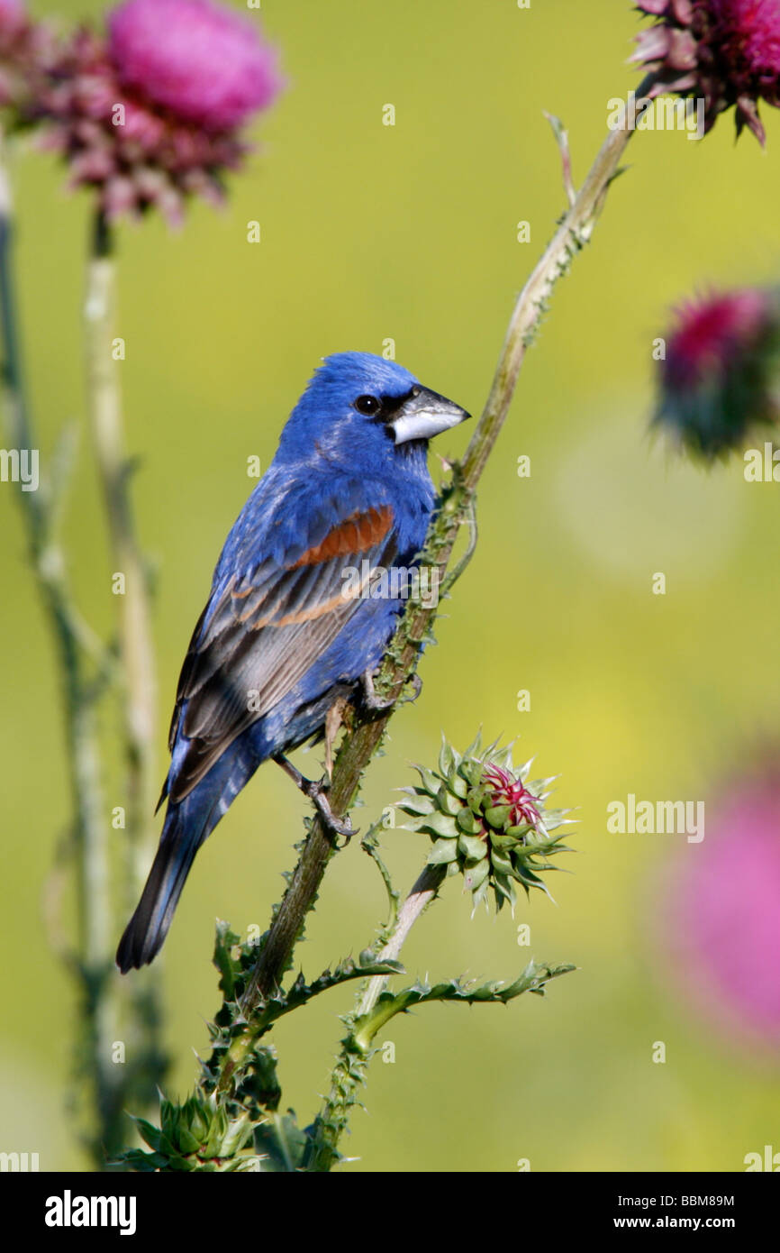 Blue Grosbeak Perched on Thistle Wildflower Blossoms - Vertical - Stock Image
