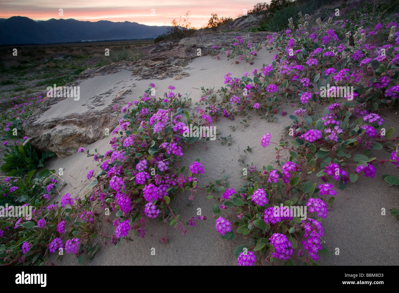 Desert Sand Verbena wildflowers in Anza Borrego Desert State Park California - Stock Image