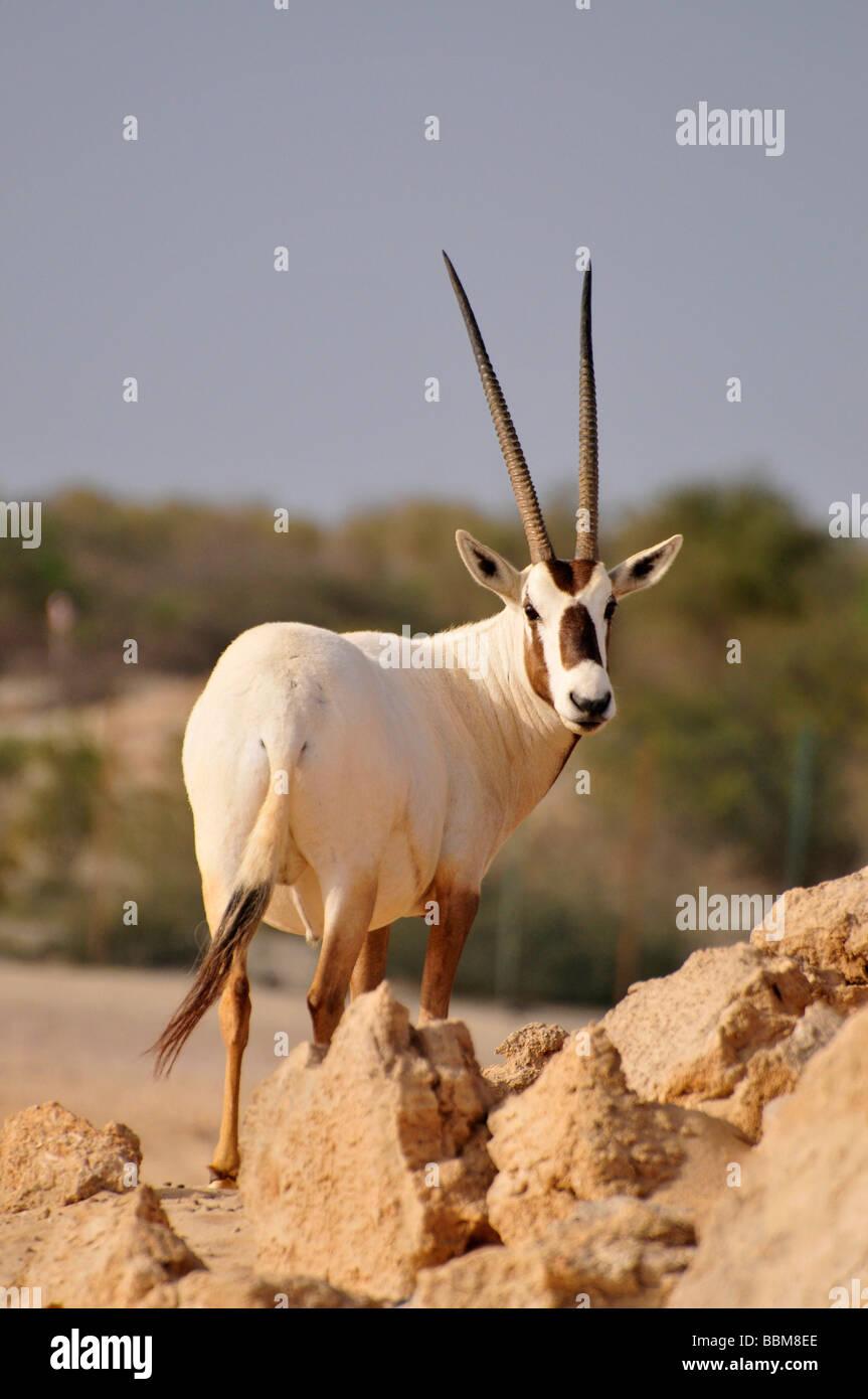 Arabian Oryx (Arabian Oryx), Sir Bani Yas Island, Abu Dhabi, United Arab Emirates, Arabia, Near East, Orient - Stock Image