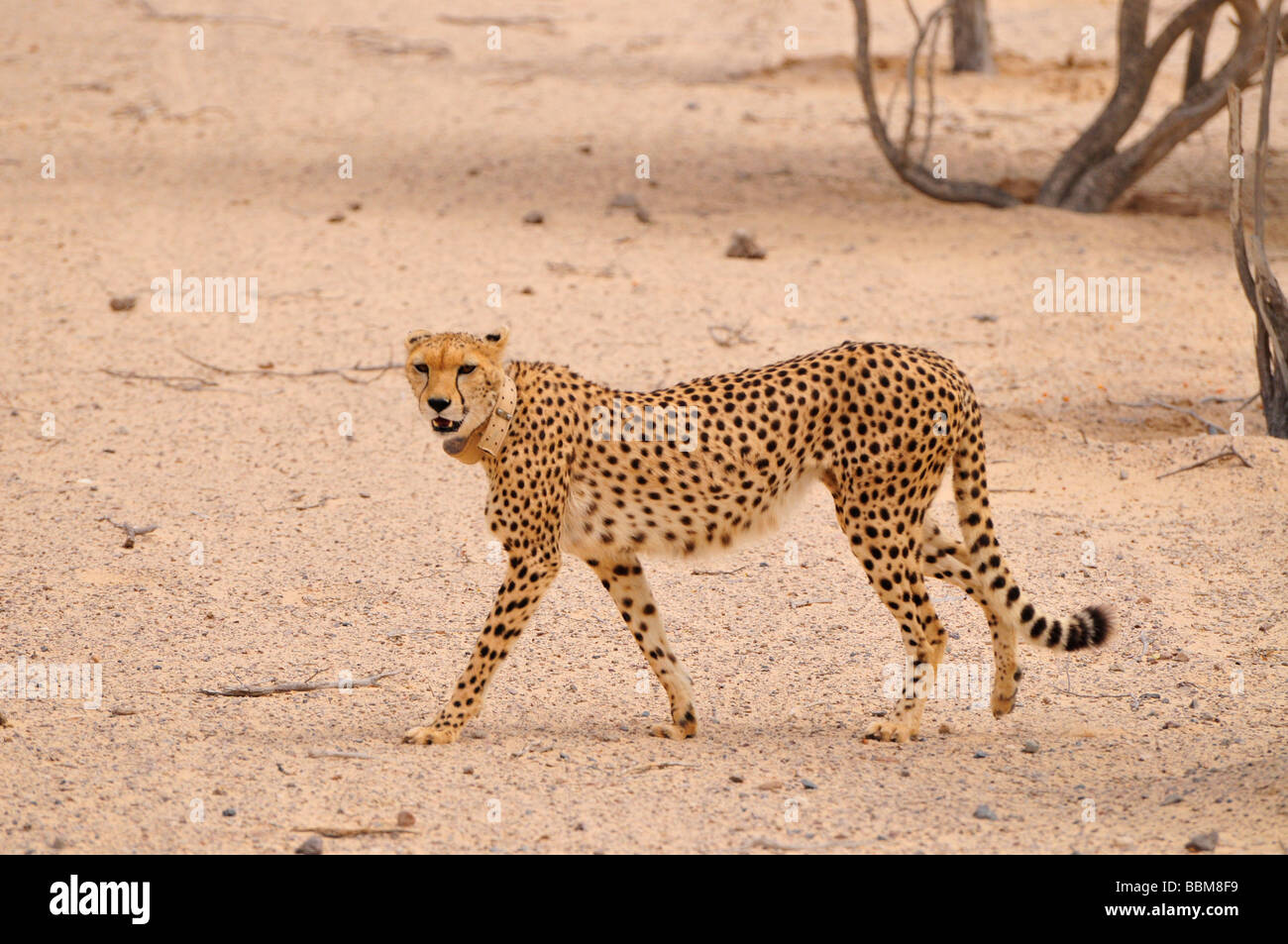 Cheetah (Acinonyx jubatus soemmerringii), in a vivarium, Sir Bani Yas Island, Abu Dhabi, United Arab Emirates, Arabia, - Stock Image