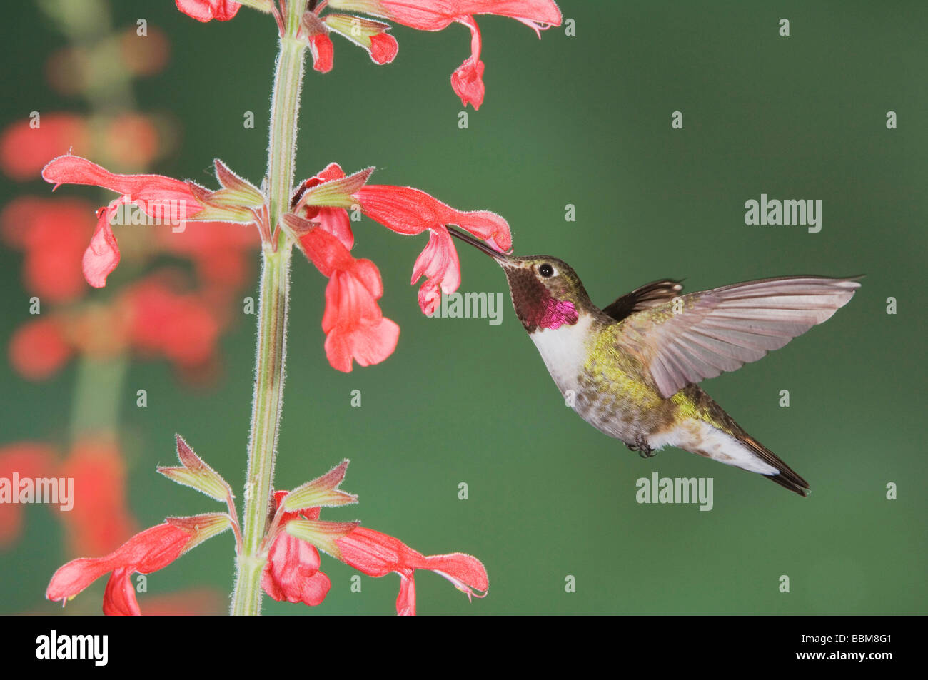 Broad tailed Hummingbird Selasphorus platycercus male in flight feeding on Red Sage Salvia sp Rocky Mountain NP - Stock Image
