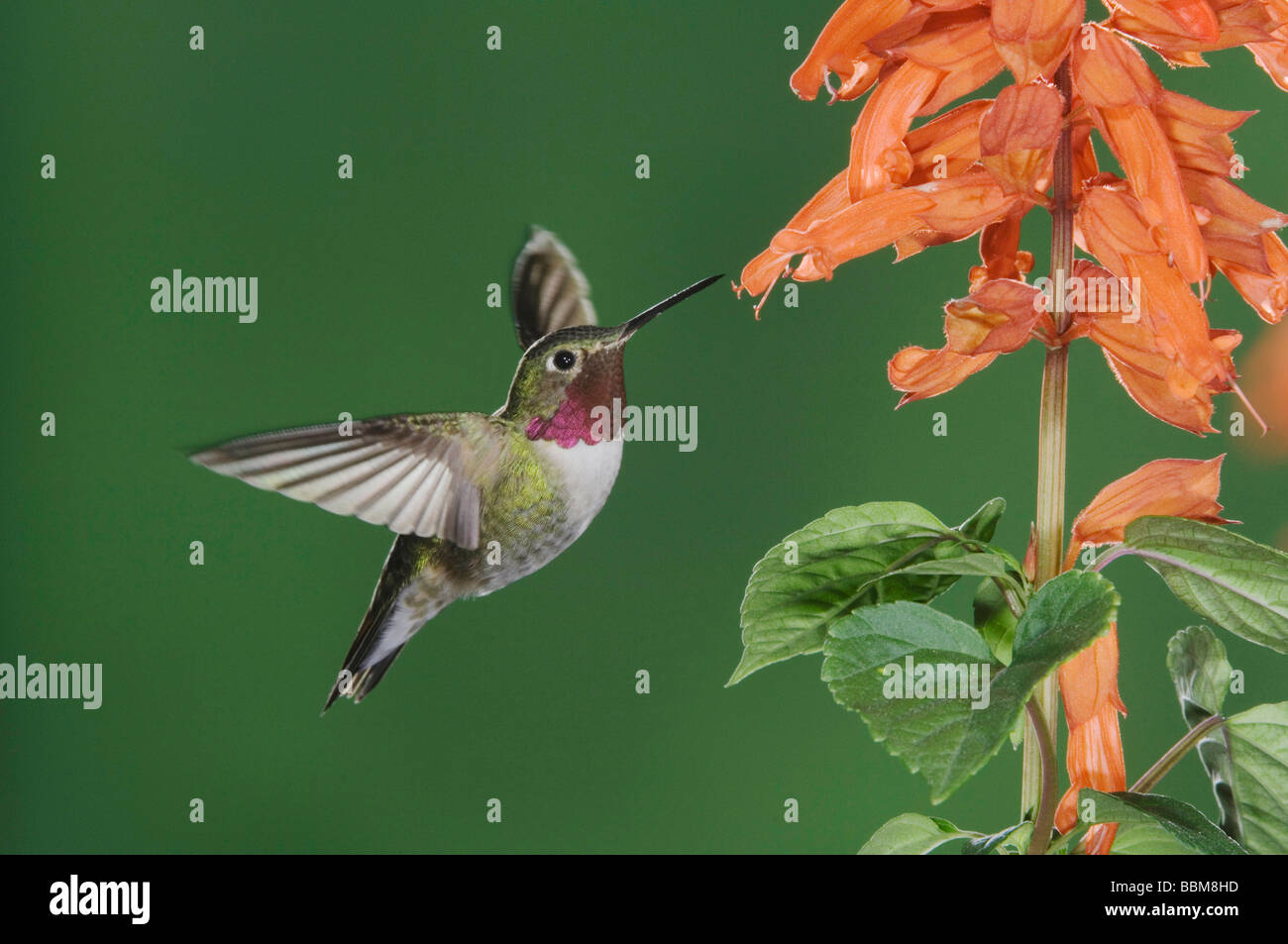 Broad tailed Hummingbird Selasphorus platycercus male in flight feeding on Red Salvia Salvia splenden Rocky Mountain - Stock Image