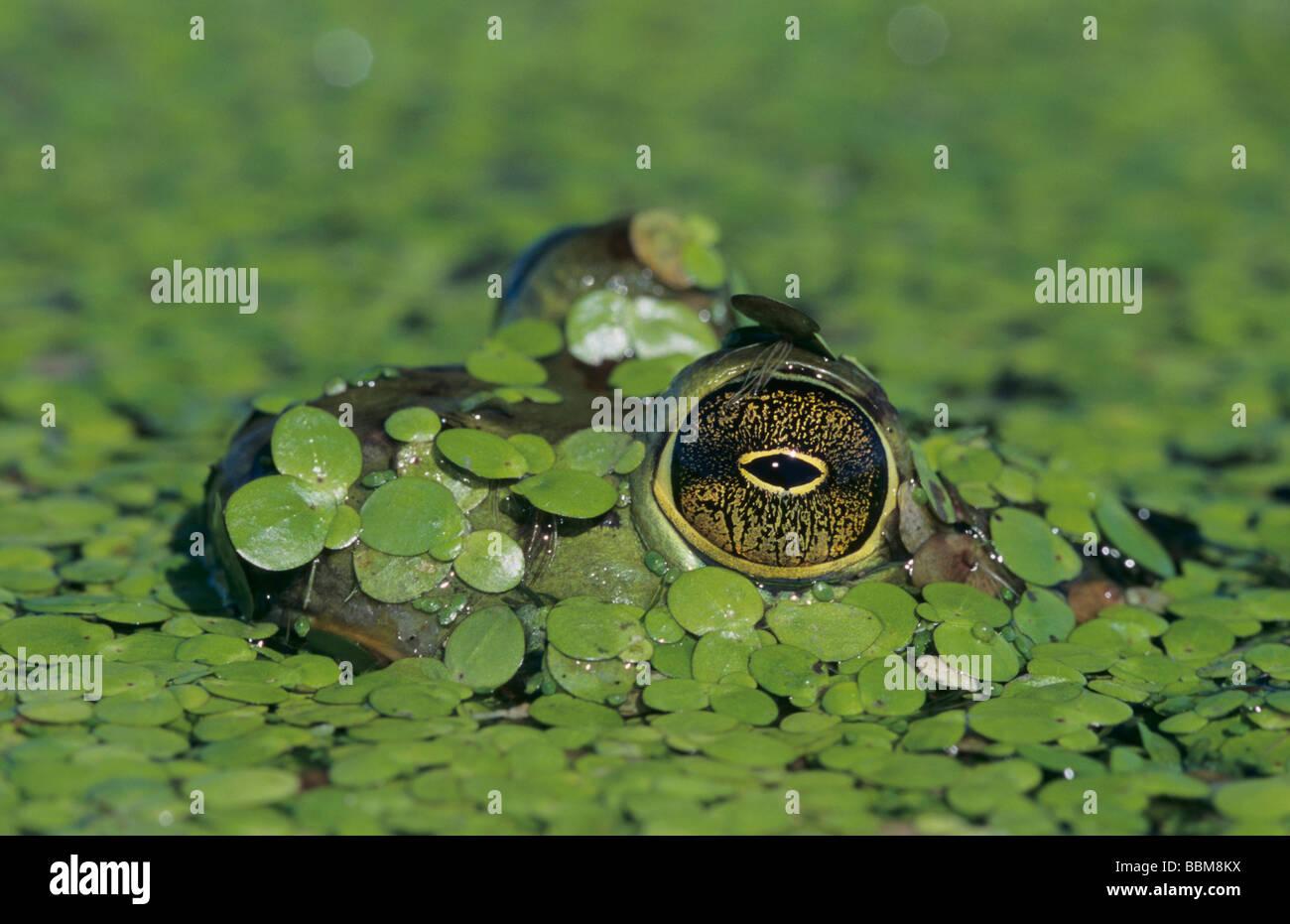 Bullfrog Rana catesbeiana adult in duckweed camouflaged Welder Wildlife Refuge Sinton Texas USA May 2005 Stock Photo