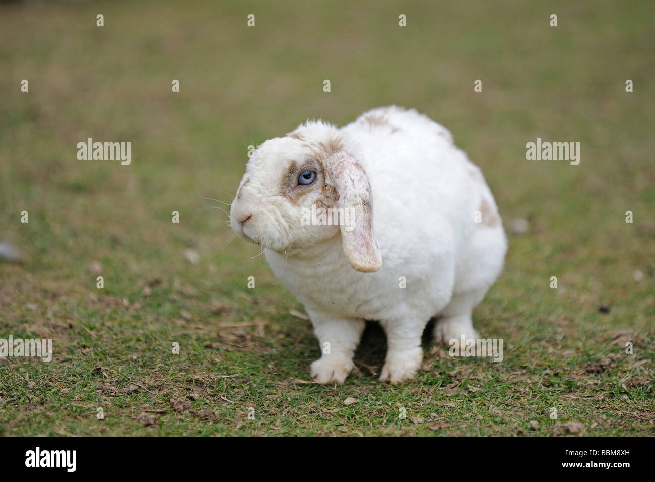 Dwarf rabbit, domestic rabbit with floppy ears, on a meadow - Stock Image