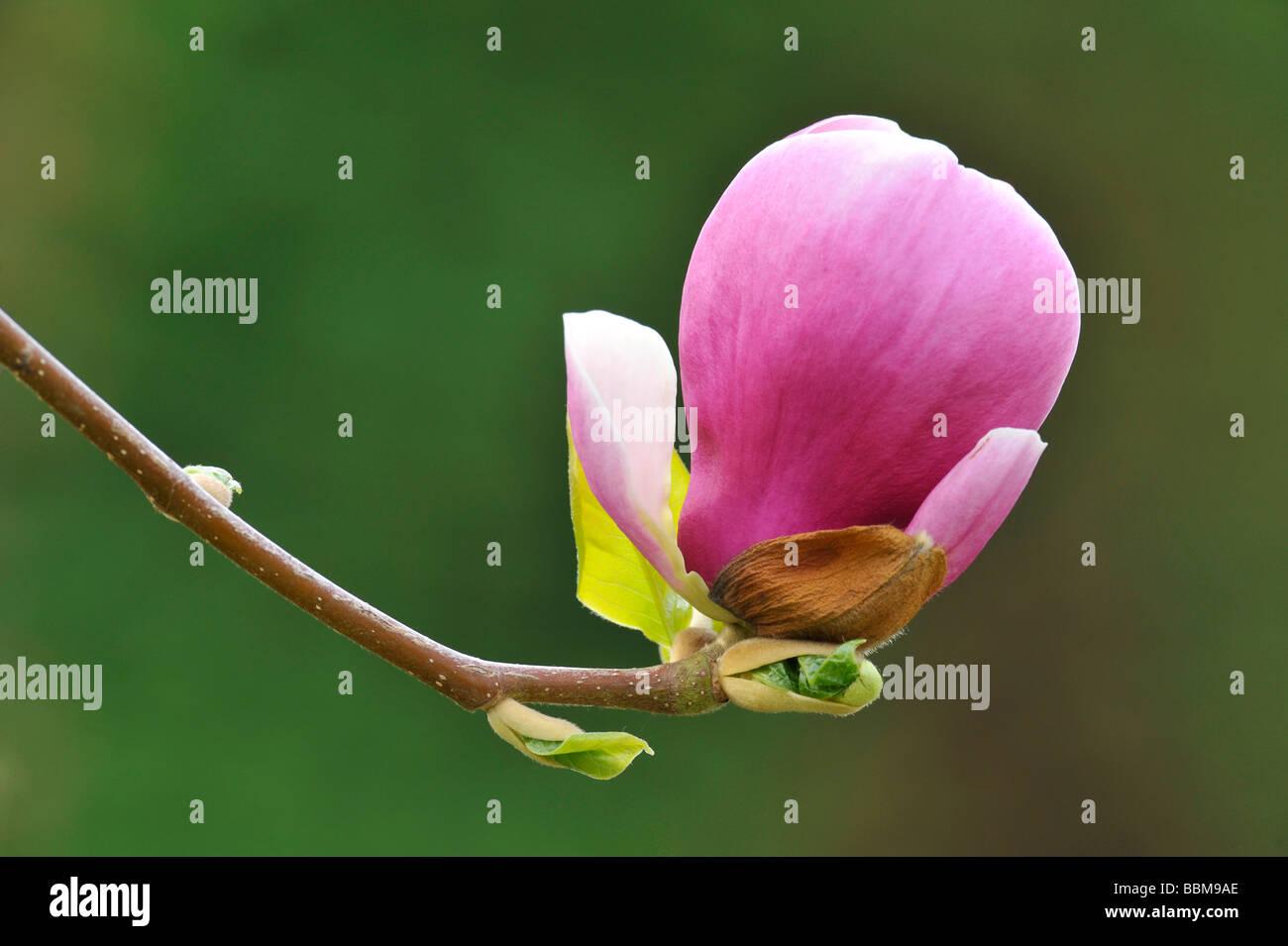 Saucer Magnolia (Magnolia x soulangeana), amabilis cultivar Stock Photo