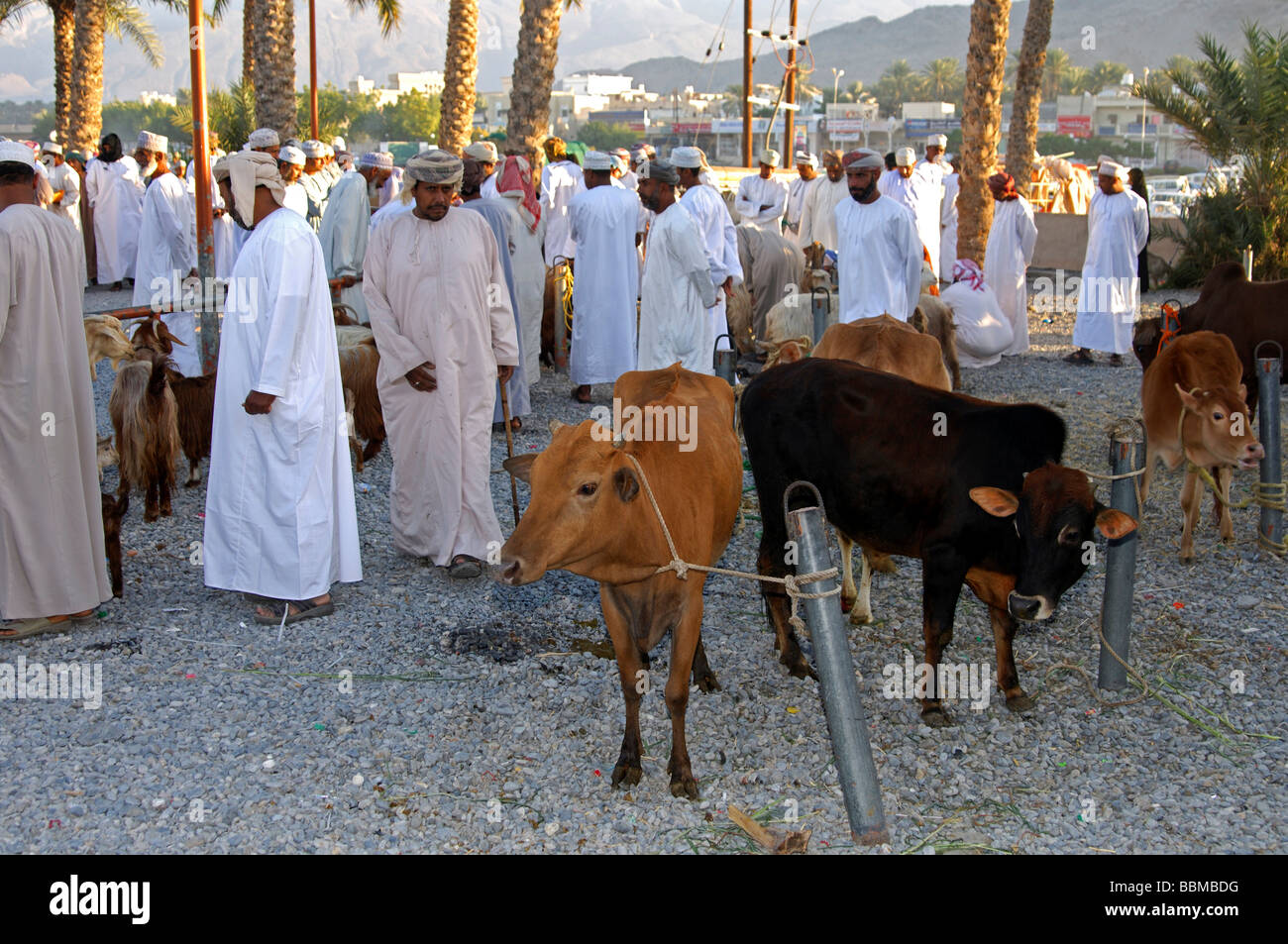 Cattle for sale at the cattle market, Nizwa, Sultanate of Oman - Stock Image