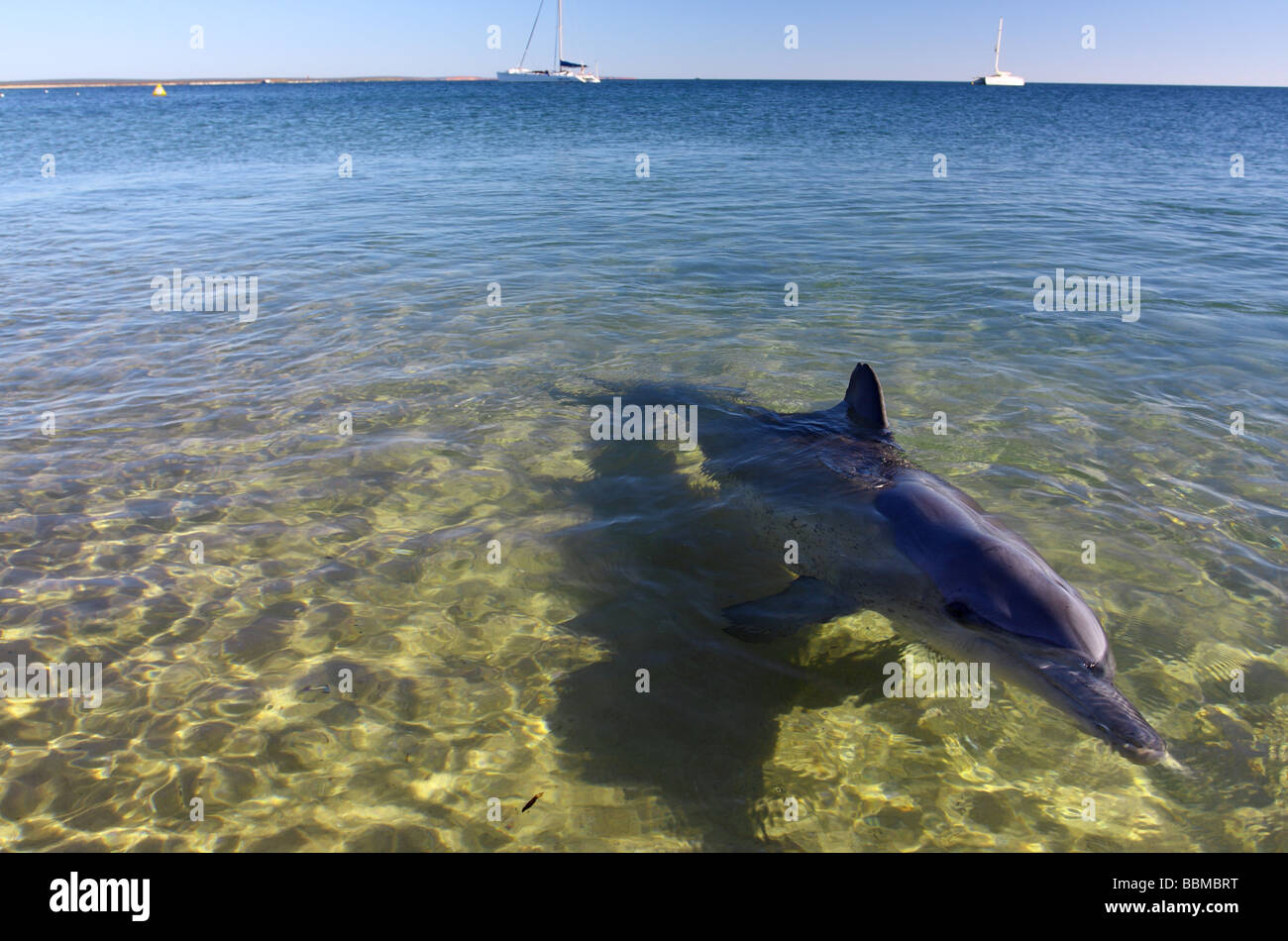Indo-Pacific Bottlenose Dolphin (Tursiops aduncus)  in shallow water, Monkey Mia, Shark Bay, Western Australia - Stock Image