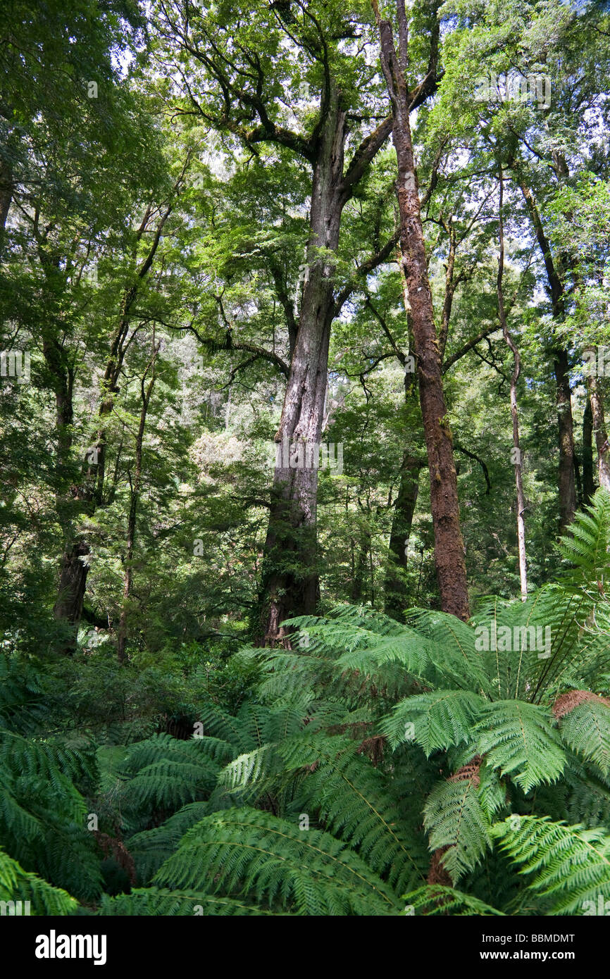 Australia, Victoria  The rainforest in Melba Gully of the