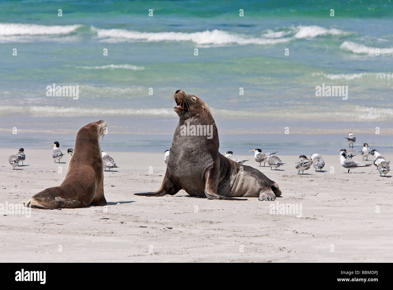 Australia, South Austrailia. A male Australian Sea Lion guards a female until she comes into oestrus. Stock Photo