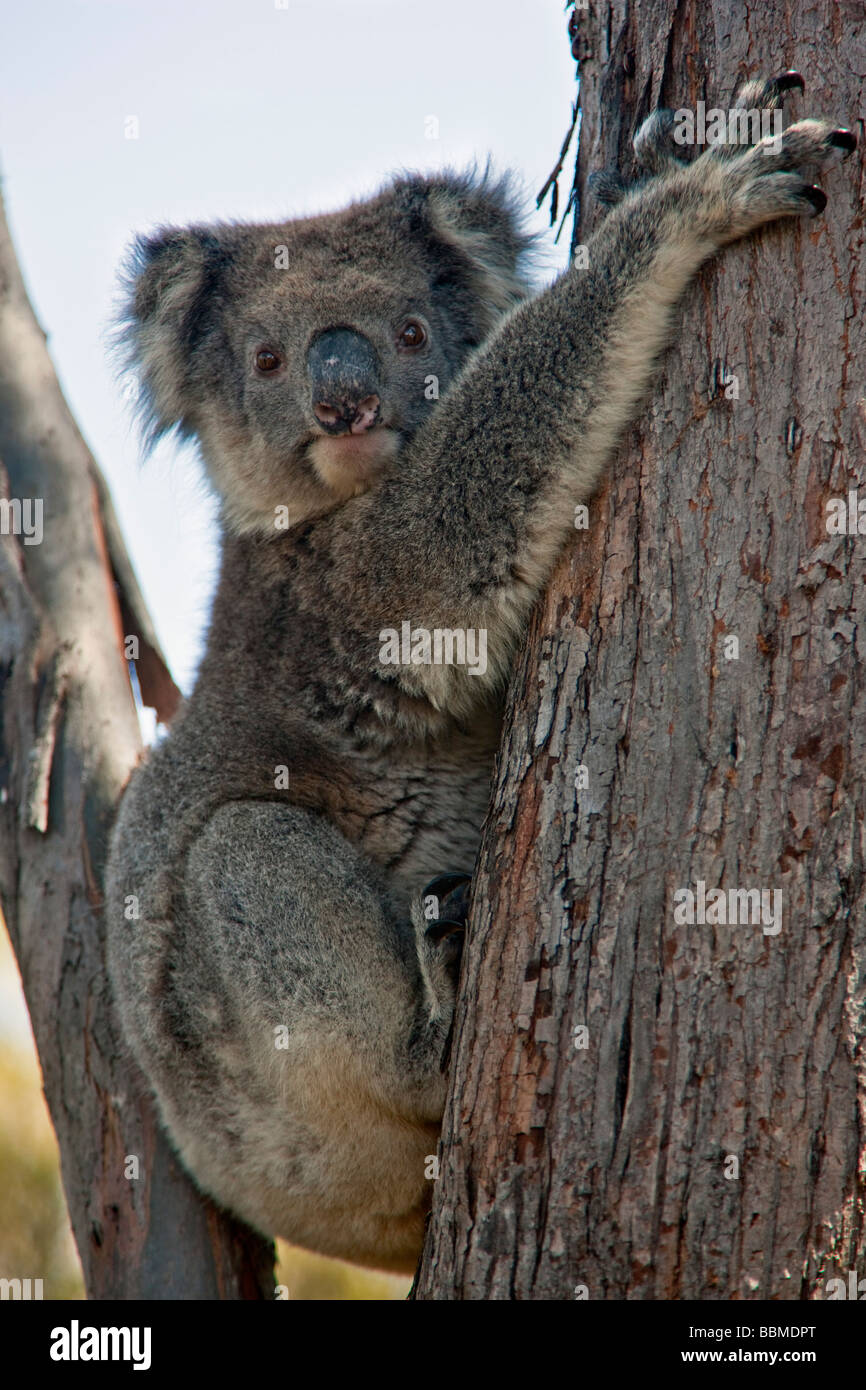 Australia, South Austrailia. A koala resting in the fork of an Eucalypt tree on Kangaroo Island. - Stock Image