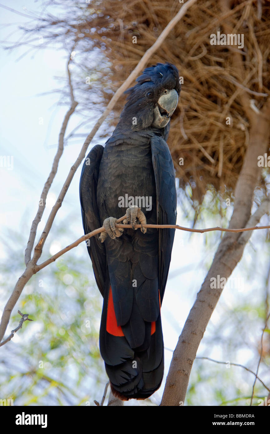 Australia, Northern Territory. A red-tailed Cockatoo at Alice Springs Desert Park. - Stock Image