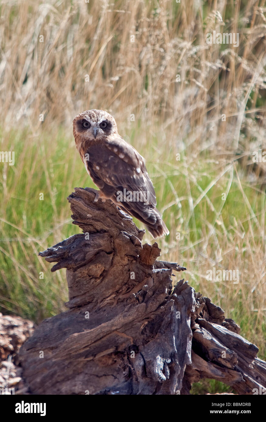 Australia, Northern Territory. A Southern Boobook at Alice Springs Desert Park.The owl is the smallest & most - Stock Image