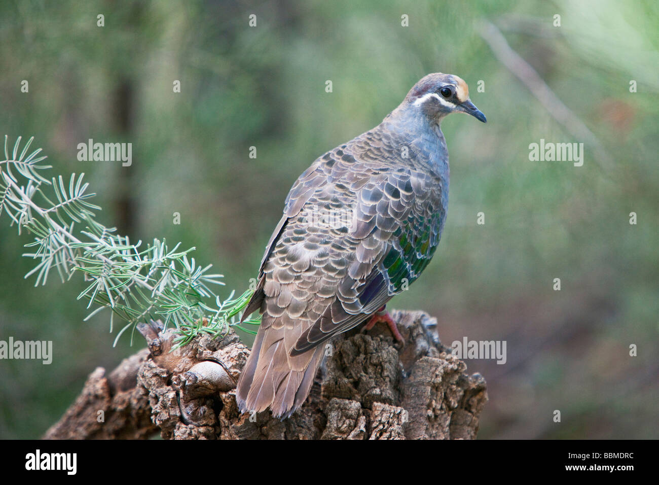 Australia, Northern Territory. A Common Bronzewing Pigeon at Alice Springs Desert Park. - Stock Image
