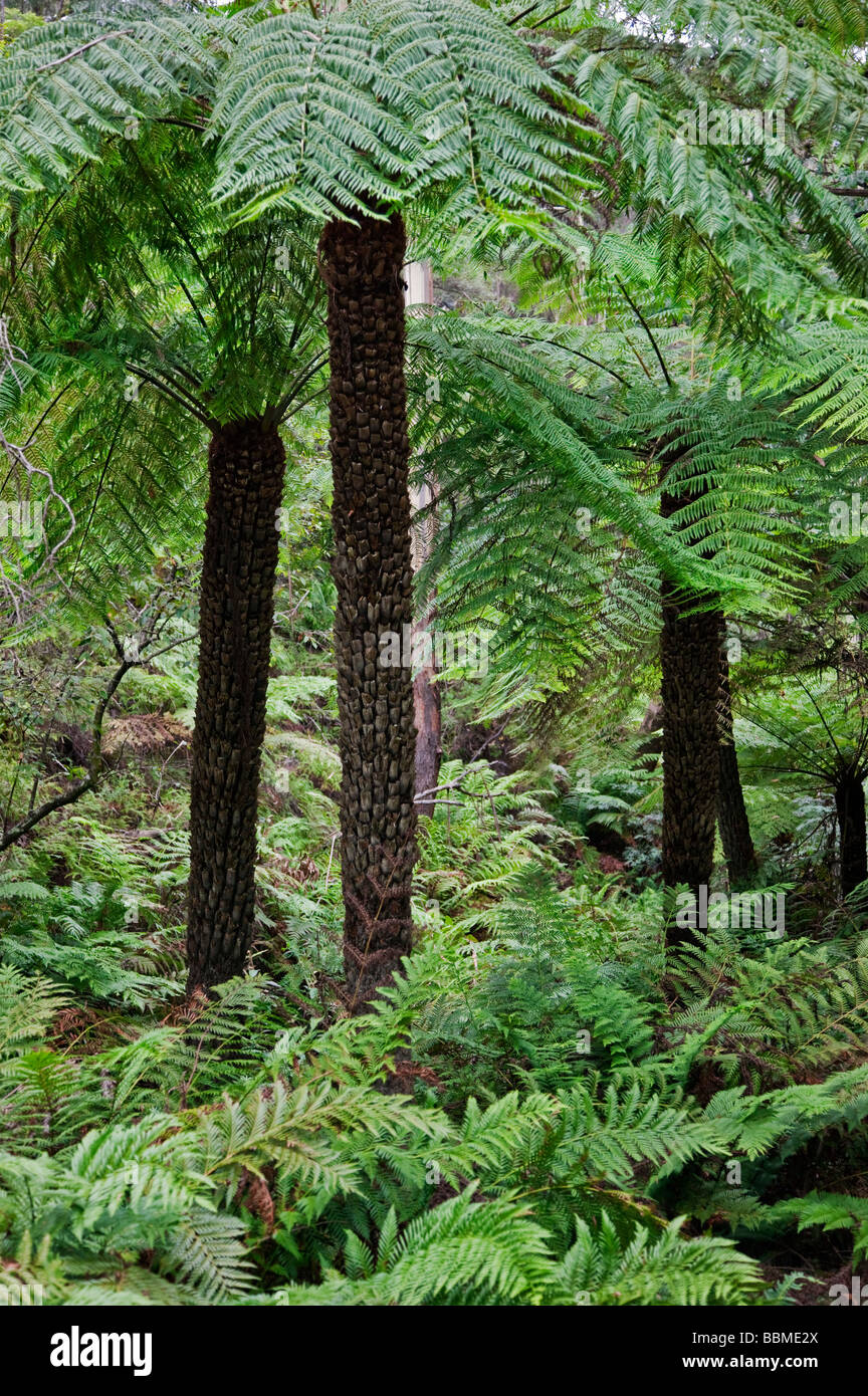 Australia New South Wales. Tree ferns at Leura Falls in the Blue Mountains. - Stock Image