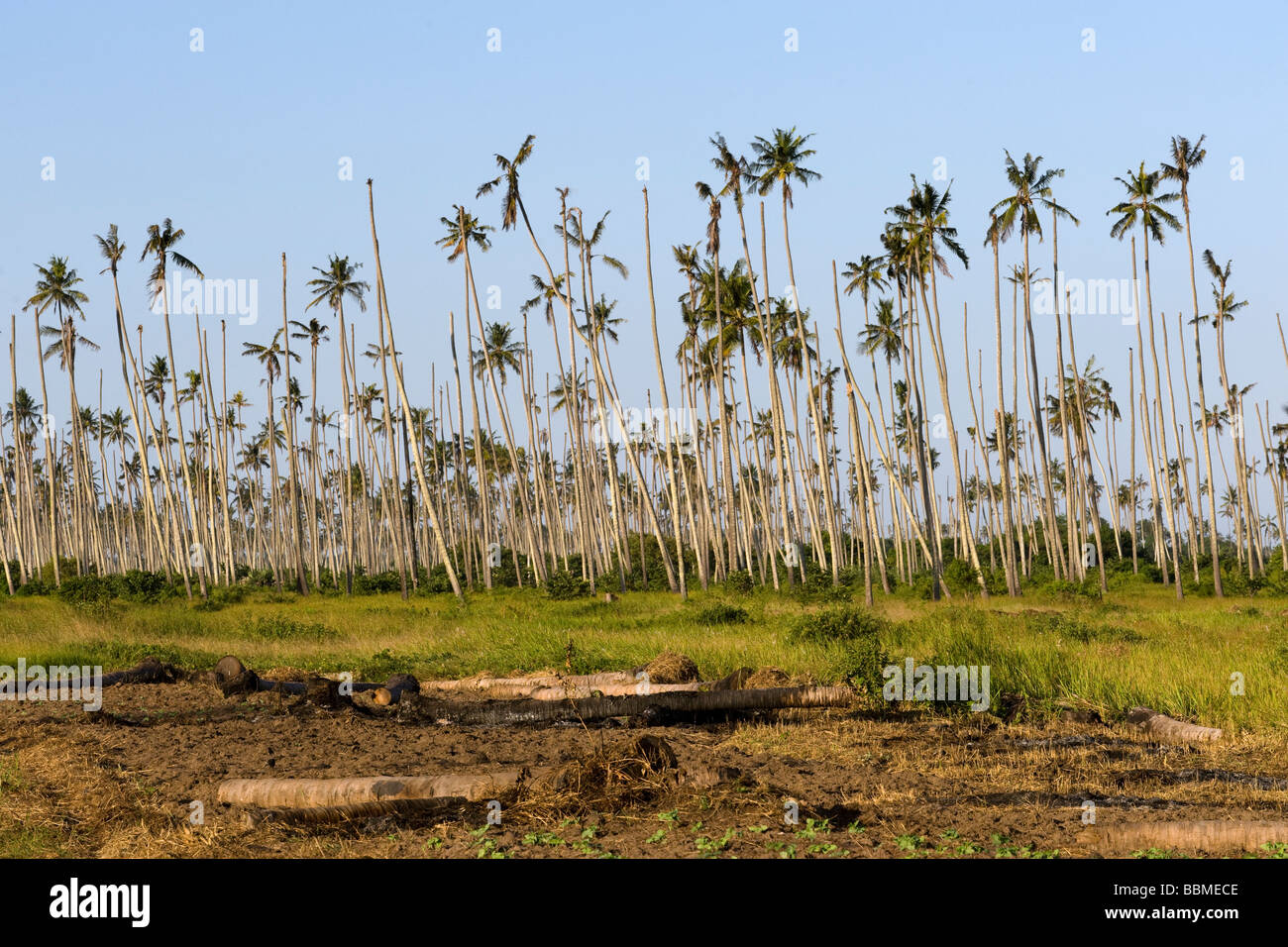 Coconut palms Cococ nucifera dying of a disease Quelimane Mozambique - Stock Image