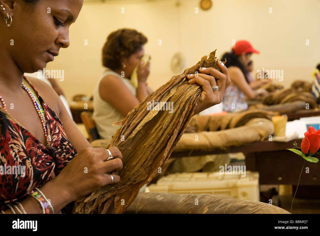 Cuba, Havana. Grading tobacco leaves, The H. Upmann Cigar Factory, Havana, Cuba - Stock Image
