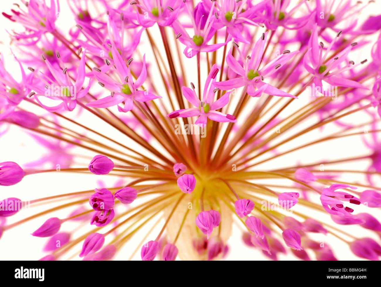 Ornamental chive or Allium flower - Stock Image