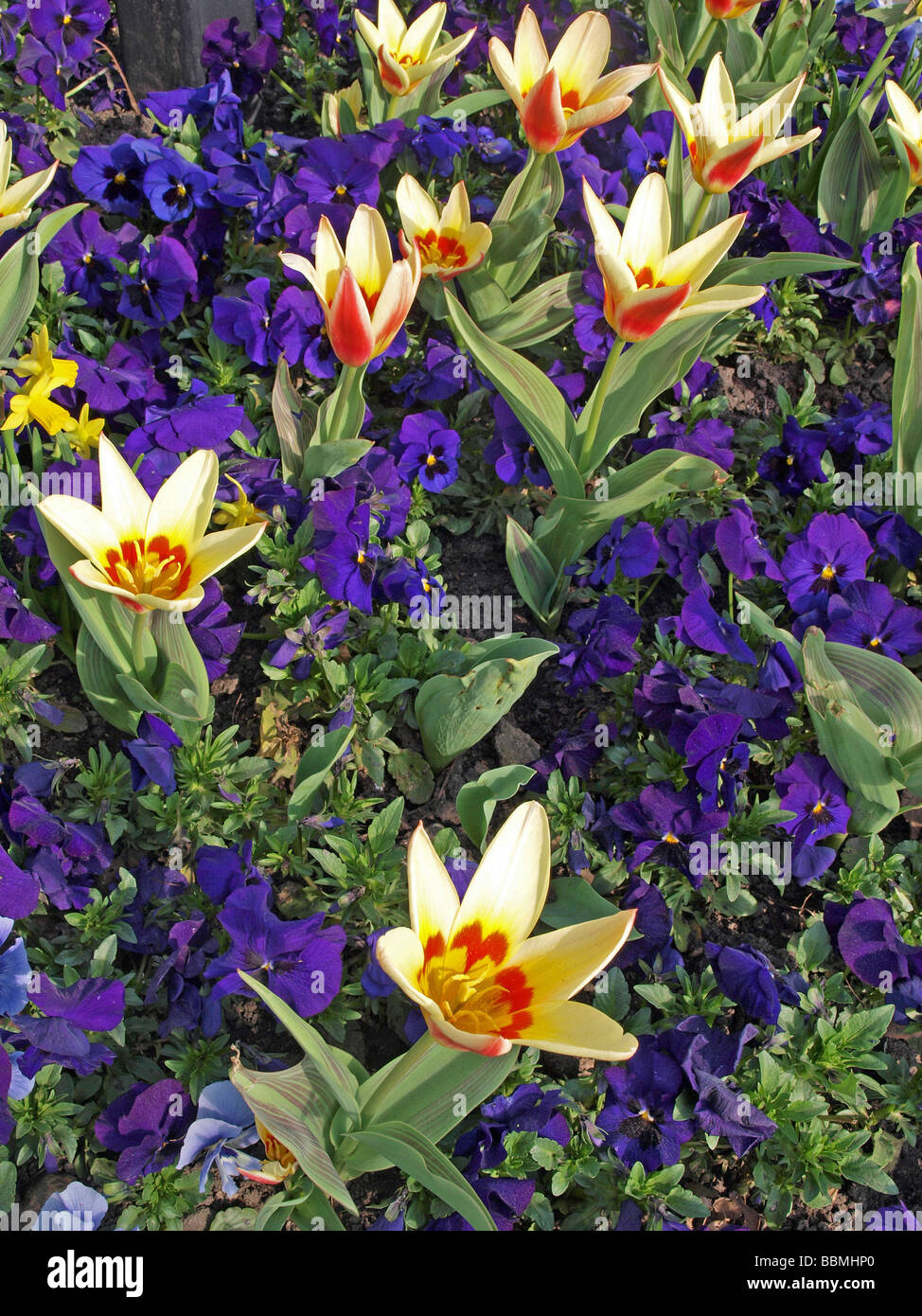 Close up photo of tulips and pansies in a formal flower bed - Stock Image