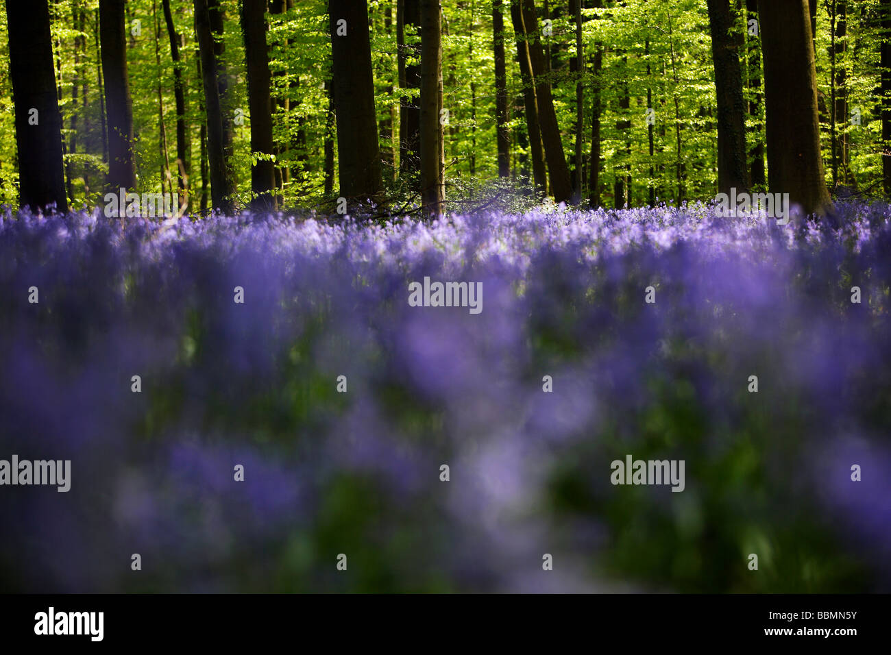Bluebell woods Hallebos - Stock Image