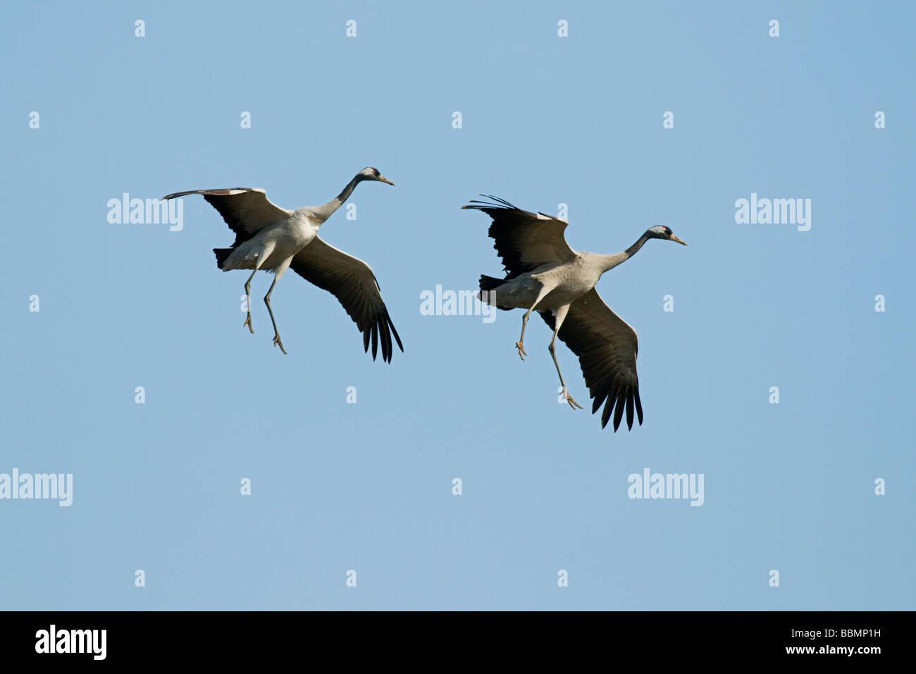 Common Crane (Grus grus), flying couple, Lake Hornborga, Vaestergoetland, Sweden, Scandinavia, Europe Stock Photo