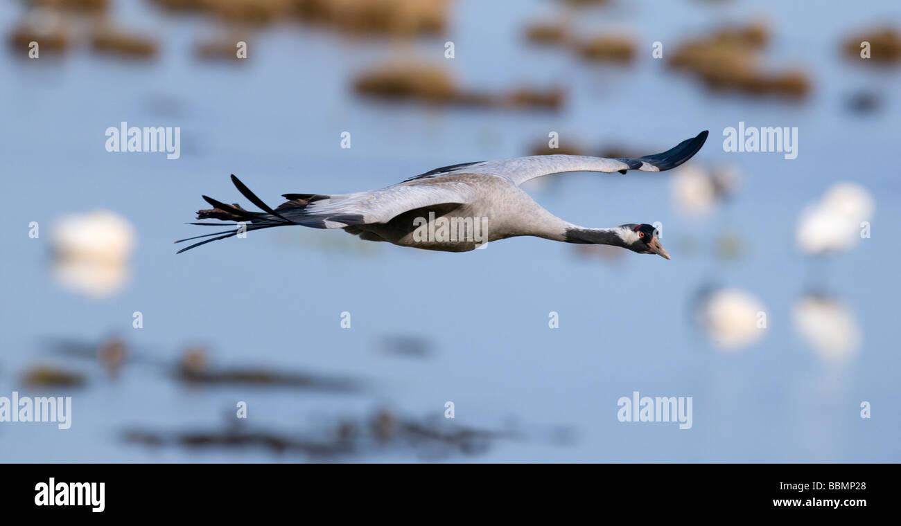 Common Crane (Grus grus), flying over Lake Hornborga, Vaestergoetland, Sweden, Scandinavia, Europe Stock Photo