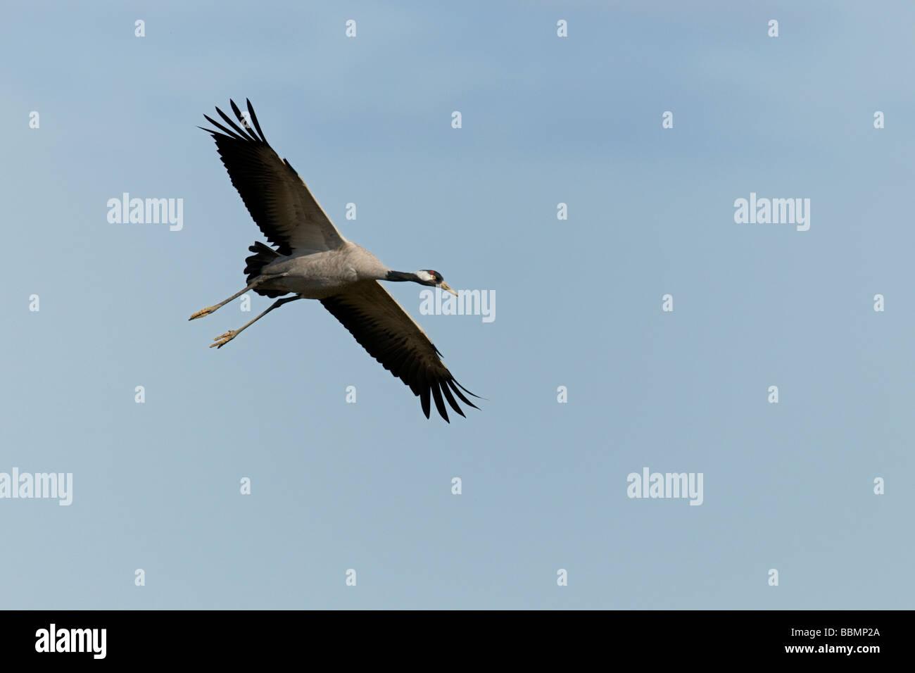 Common Crane (Grus grus), in flight, Lake Hornborga, Vaestergoetland, Sweden, Scandinavia, Europe Stock Photo