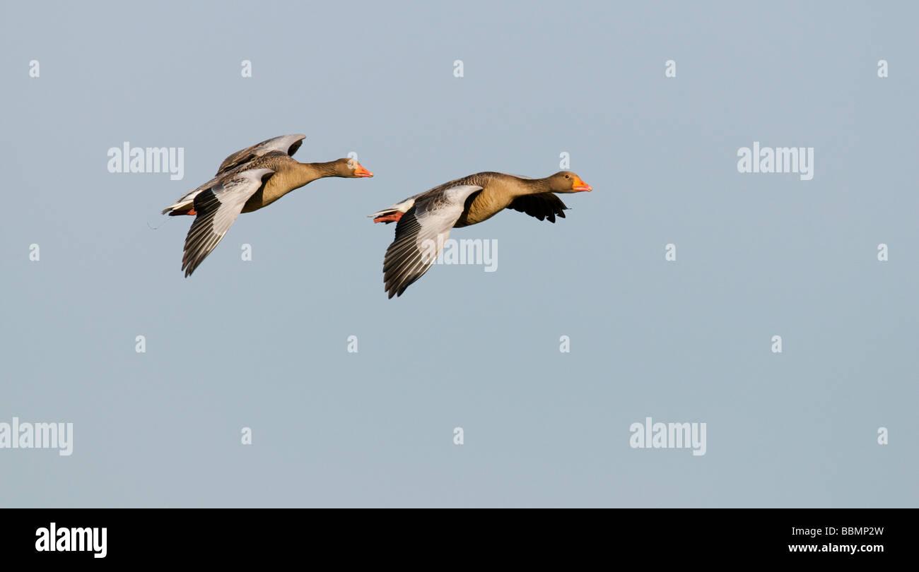 Greylag Goose (Anser anser), a couple in flight, Lake Hornborga, Vaestergoetland, Sweden, Scandinavia, Europe Stock Photo