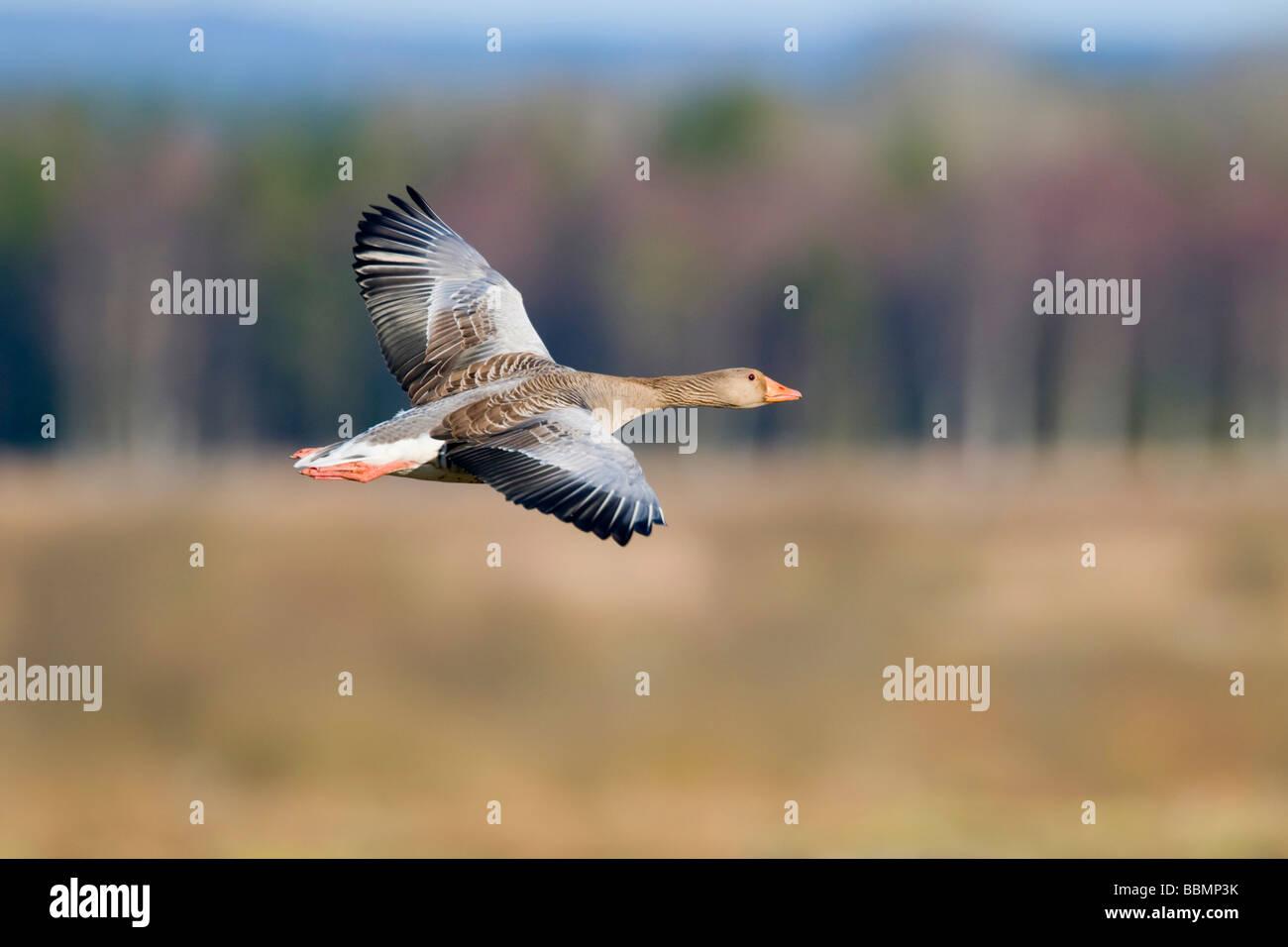 Greylag Goose (Anser anser) flying in the countryside, Lake Hornborga, Vaestergoetland, Sweden, Scandinavia, Europe Stock Photo