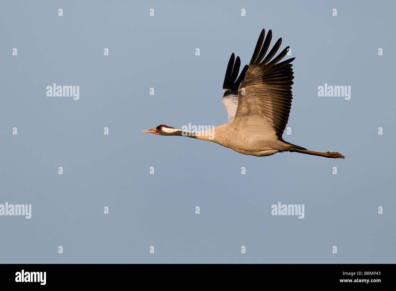 Common Cranes (Grus grus) in flight, Lake Hornborga, Vaestergoetland, Sweden, Scandinavia, Europe Stock Photo