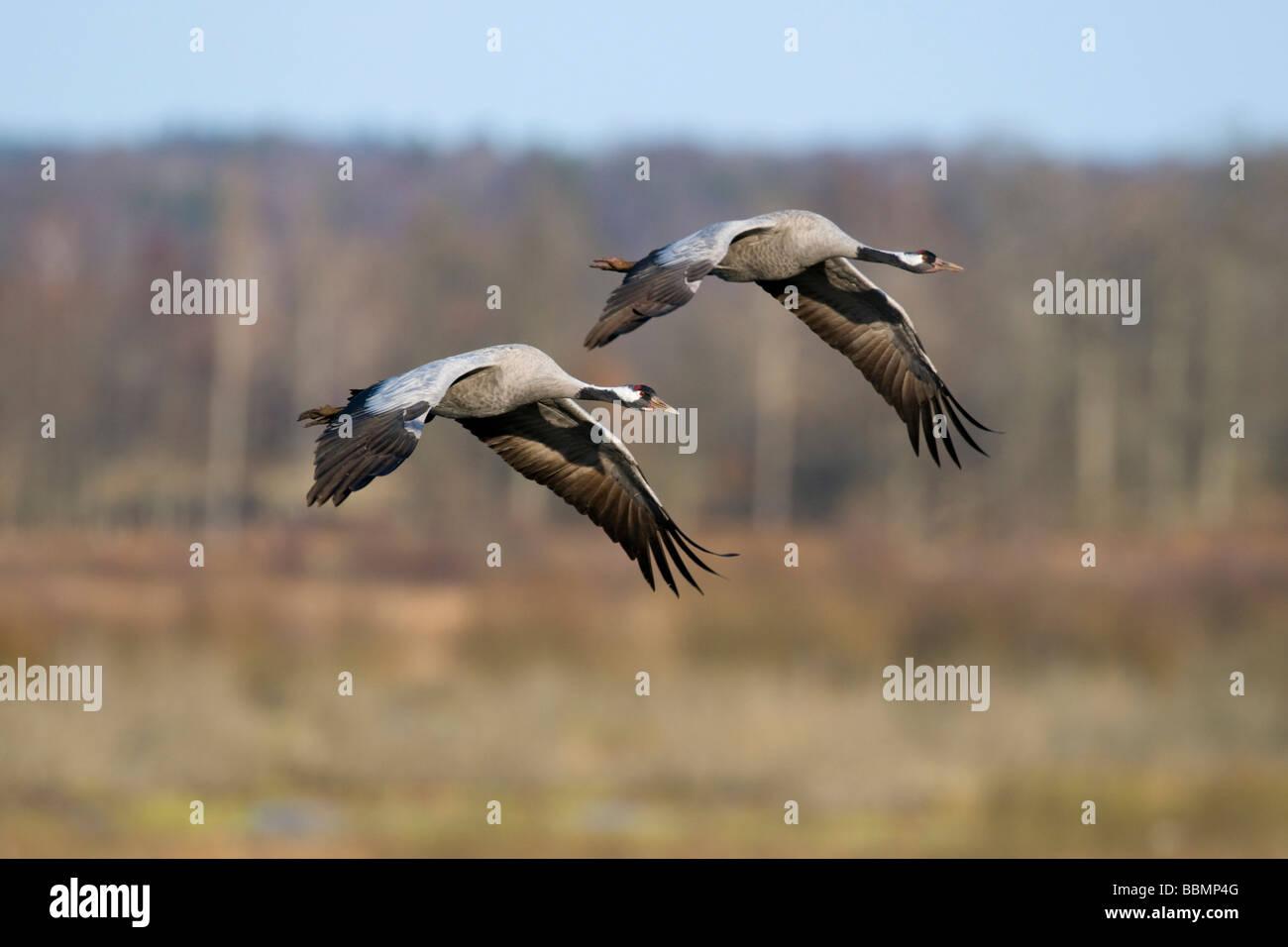 Common Cranes (Grus grus) flying in pairs in the countryside, Lake Hornborga, Vaestergoetland, Sweden, Scandinavia, Stock Photo