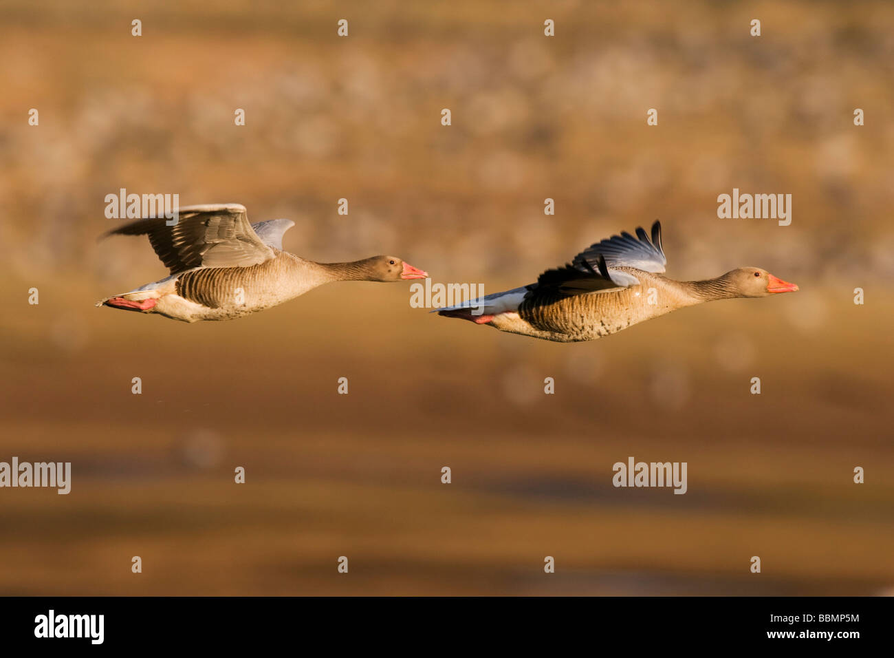 Greylag Goose (Anser anser), couple flying over resting cranes, Lake Hornborga, Vaestergoetland, Sweden, Scandinavia, Stock Photo