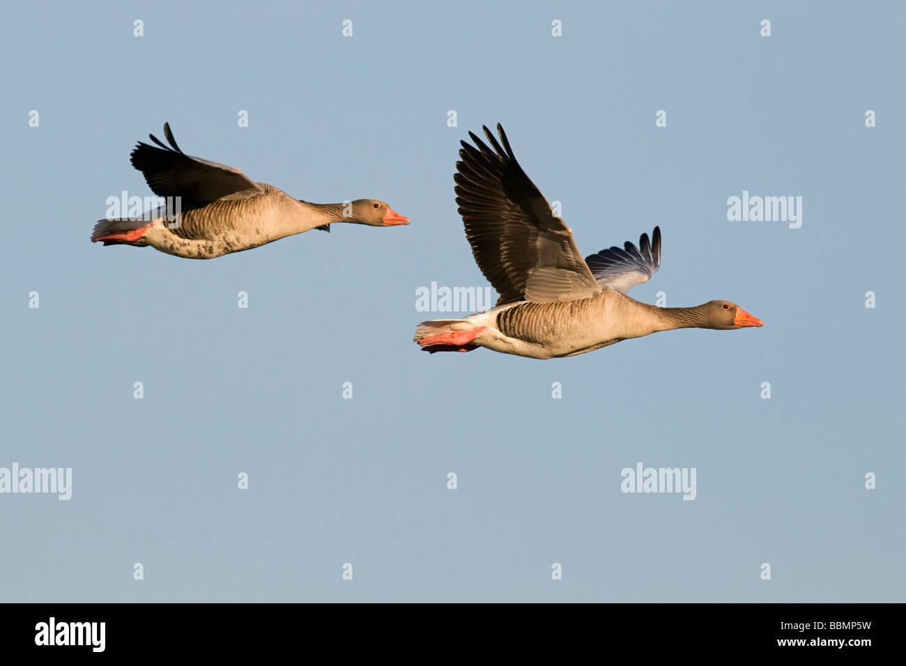 Greylag Goose (Anser anser), a pair in flight, Lake Hornborga, Vaestergoetland, Sweden, Scandinavia, Europe Stock Photo