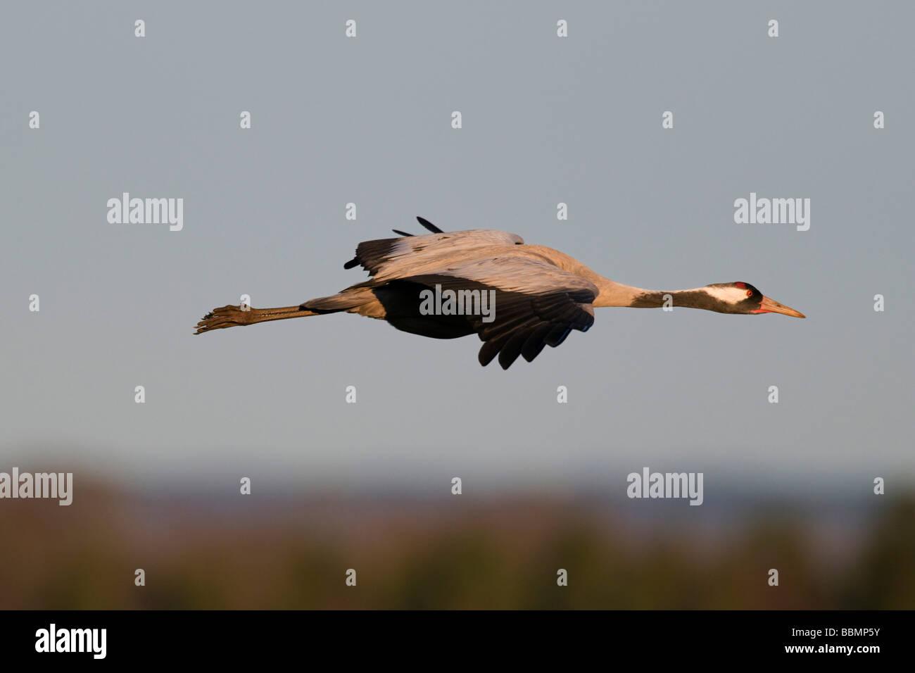 Common Crane (Grus grus), flying in the last light of the day, Lake Hornborga, Vaestergoetland, Sweden, Scandinavia, Stock Photo