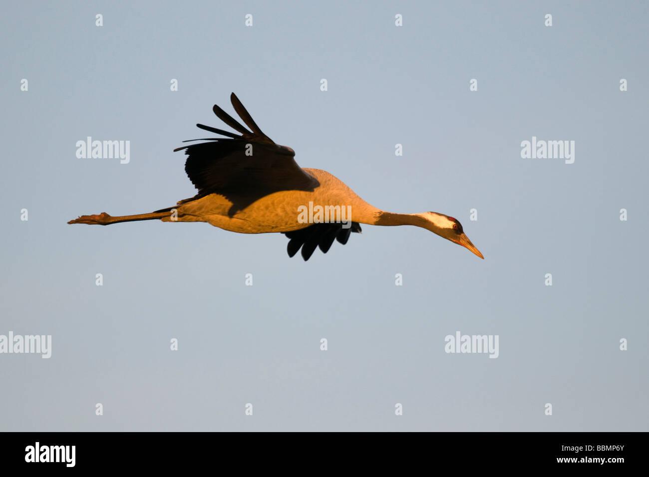 Common Crane (Grus grus) flying in the last light of day, Lake Hornborga, Vaestergoetland, Sweden, Scandinavia, Stock Photo