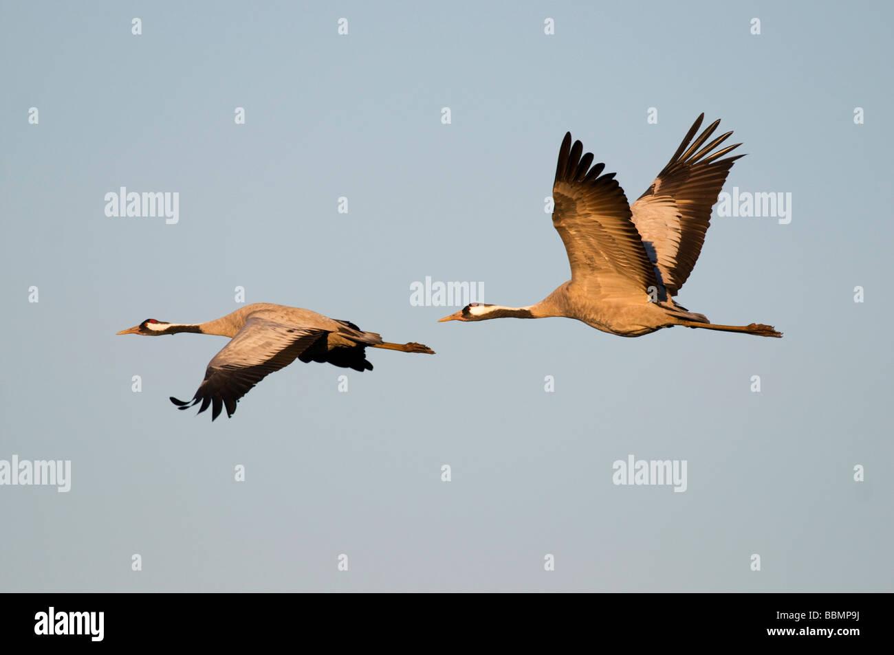 Crane (Grus grus), breeding pair flying in last daylight, Hornborgasee, Vaestergoetland, Sweden, Scandinavia, Europe Stock Photo