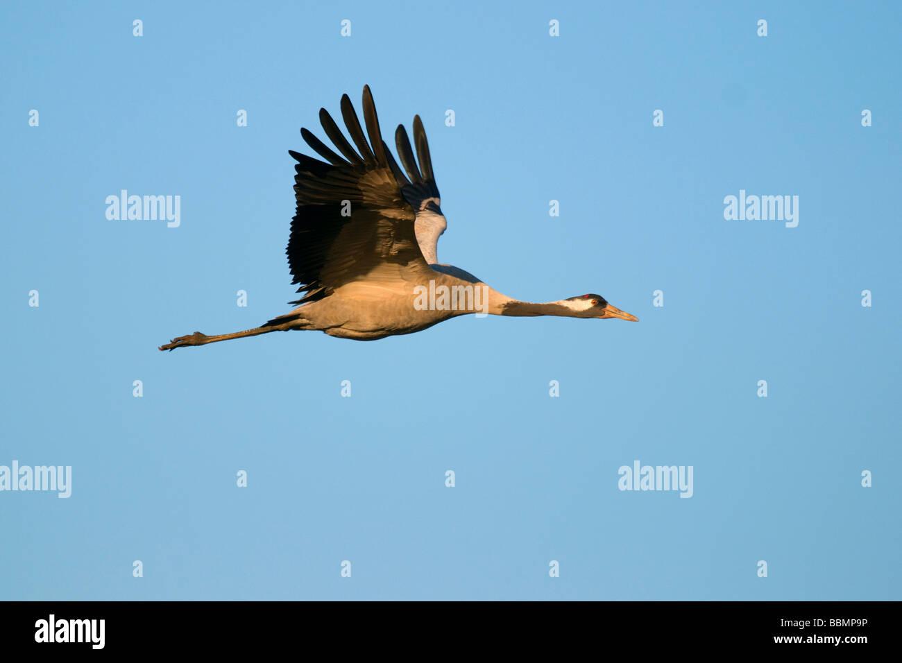 Crane (Grus grus), flying in last daylight, Hornborgasee, Vaestergoetland, Sweden, Scandinavia, Europe Stock Photo
