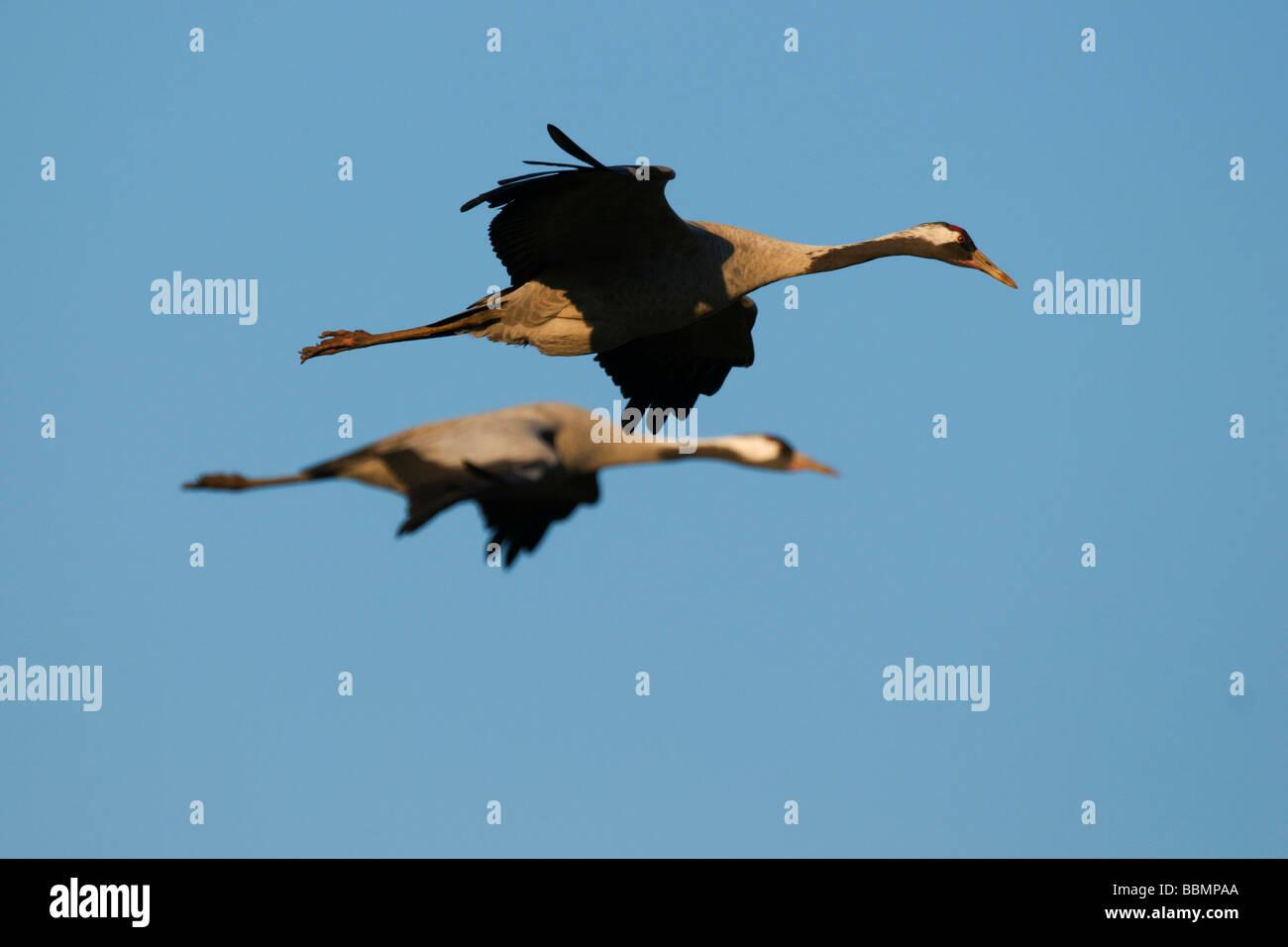 Common Cranes (Grus grus) flying in the last light of day, Lake Hornborga, Vaestergoetland, Sweden, Scandinavia, Stock Photo