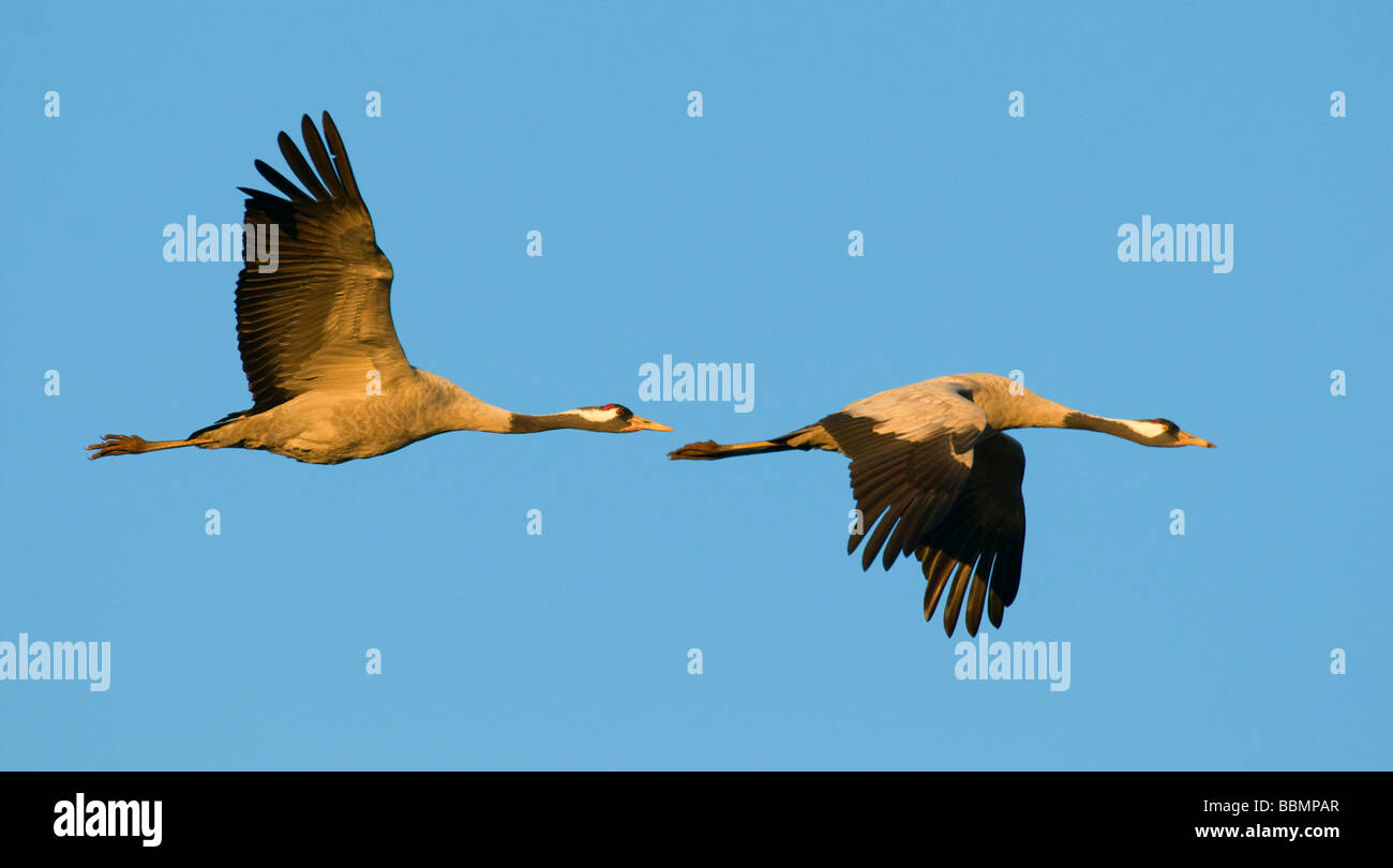 Crane (Grus grus), breeding pair flying in last daylight, Hornborgasee, Vaestergoetland, Sweden, Scandinavia, Europe Stock Photo