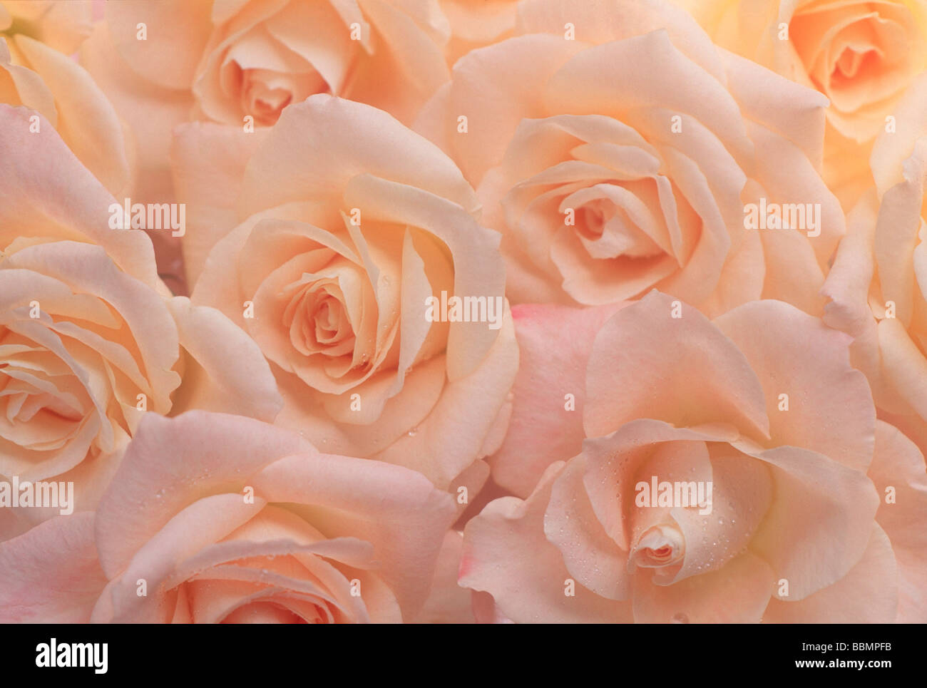 close up of peach colored roses stock photo 24428303 alamy